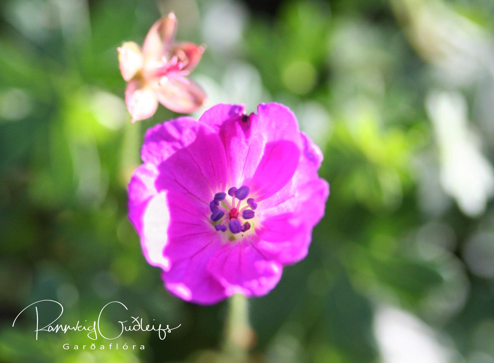 Geranium sanguineum 'Elsbeth'