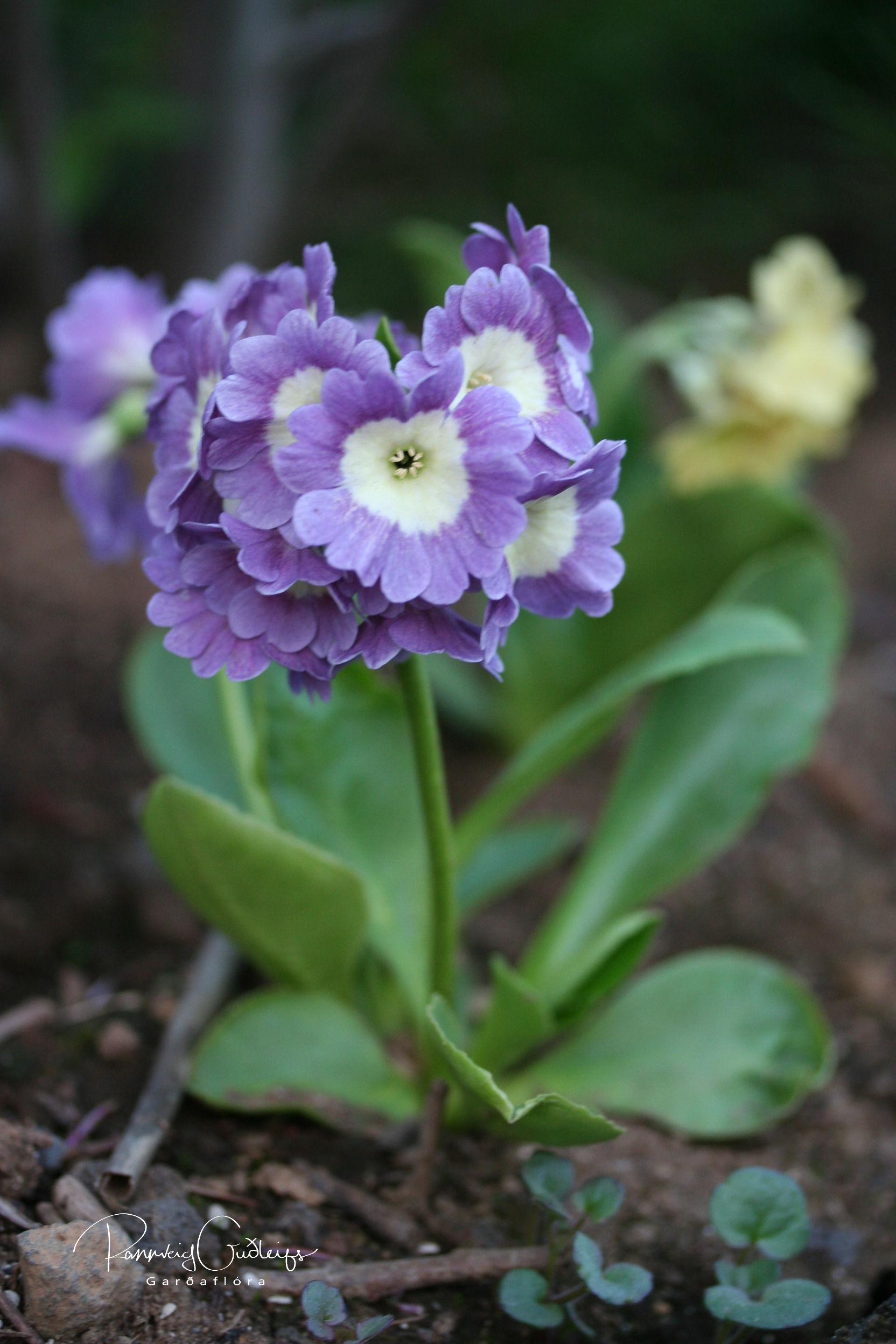Primula x pubescens 'Douglas Prize'
