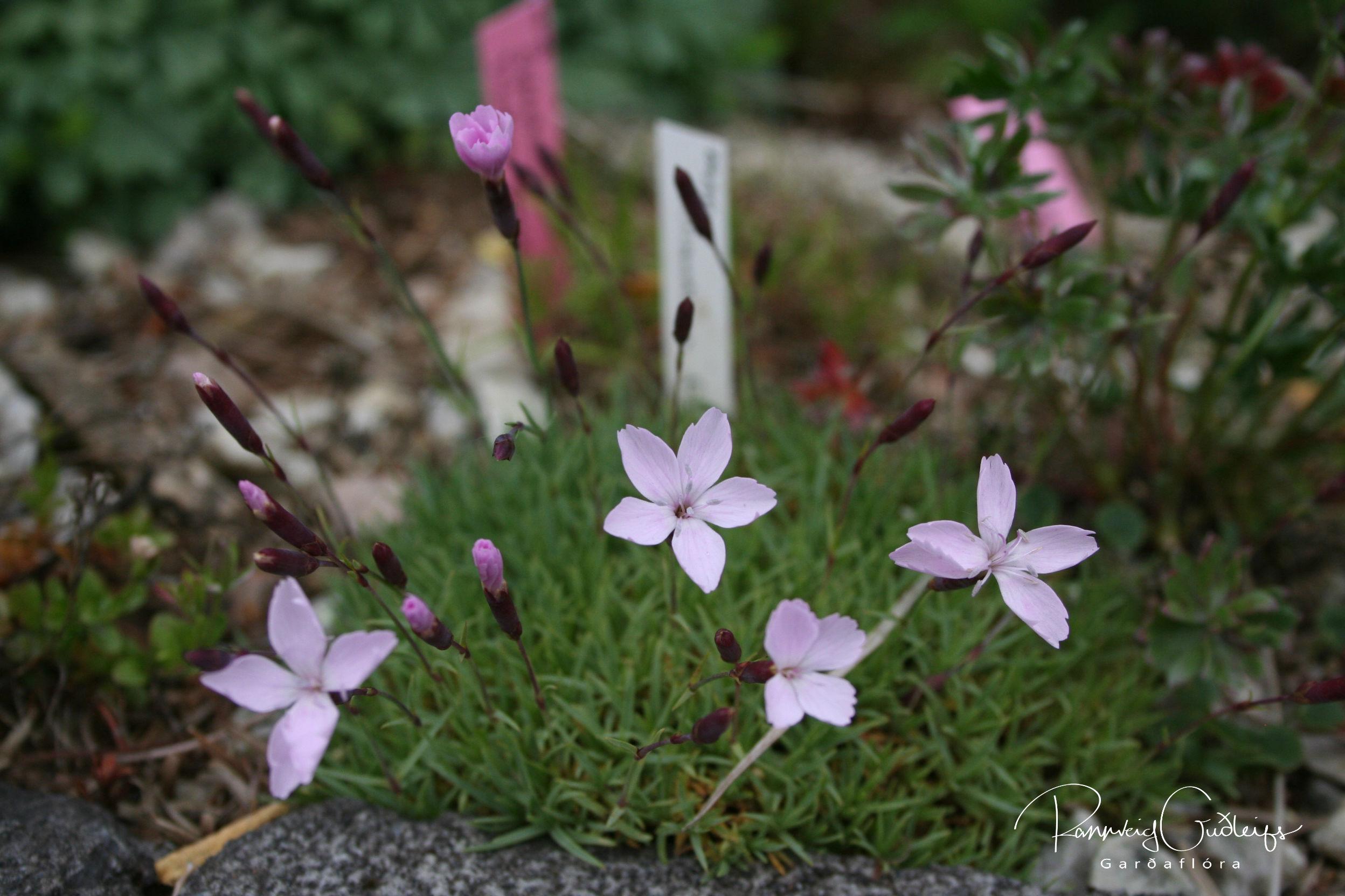Dianthus freynii