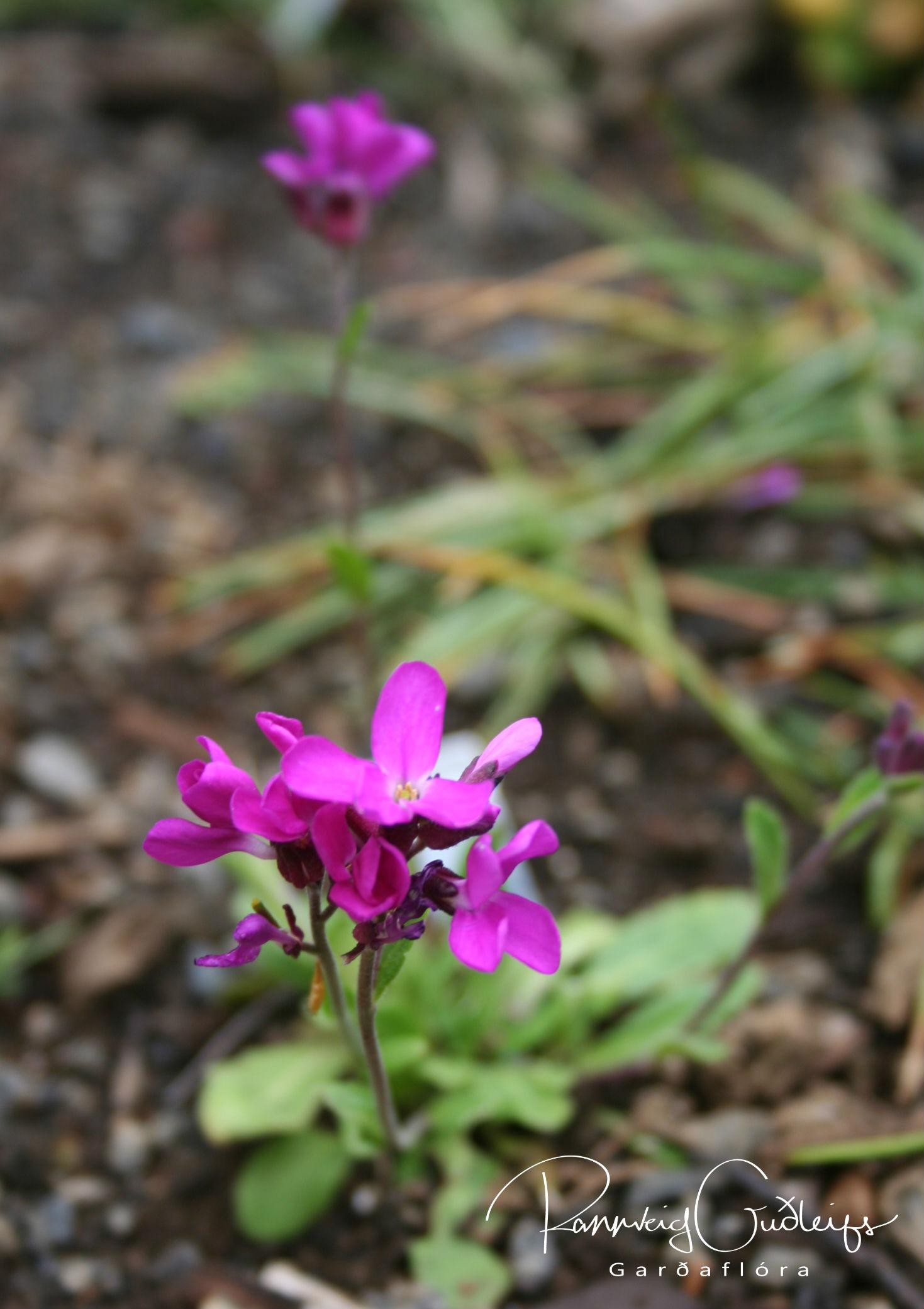 Arabis blepharophylla