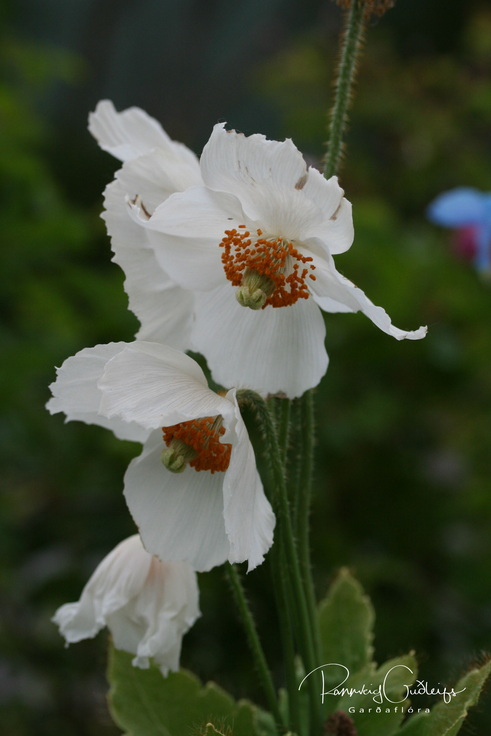 Meconopsis betonicifolia 'Alba'