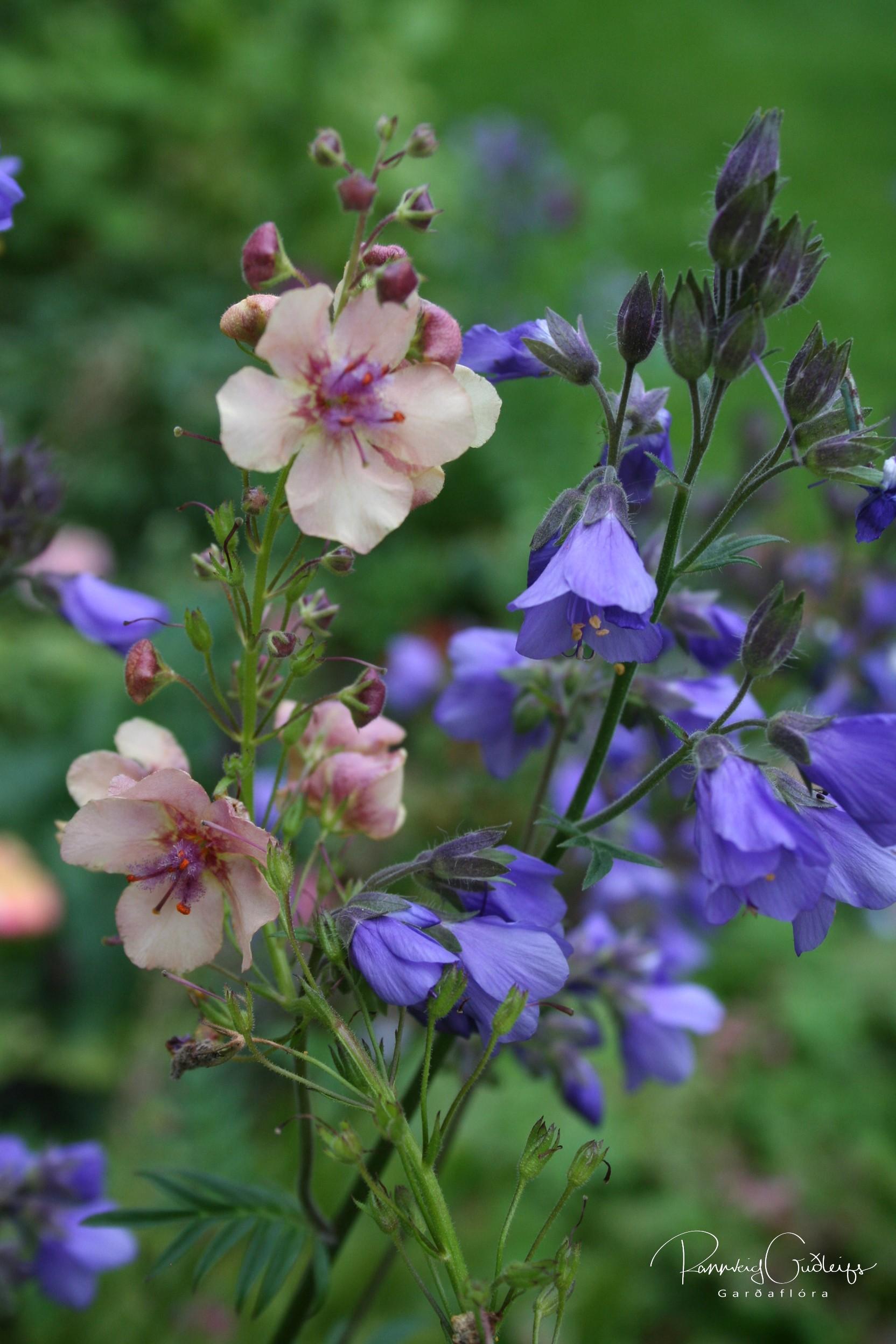 Verbascum x hybridum 'Southern Charm'