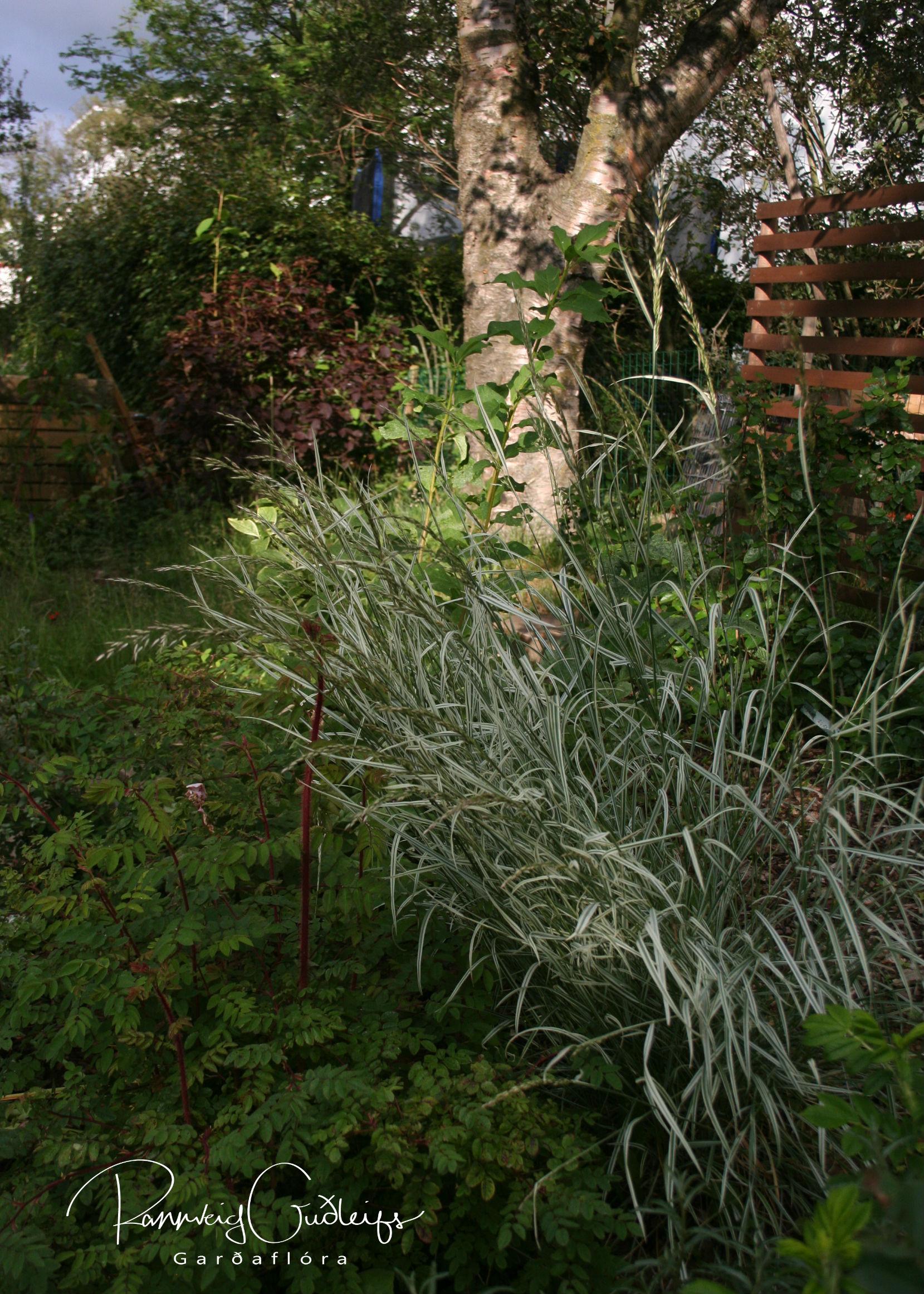 Arrhenatherum elatius ssp. bulbosum 'Variegatum'