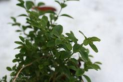 Acaena saccaticupula 'Blue Haze'