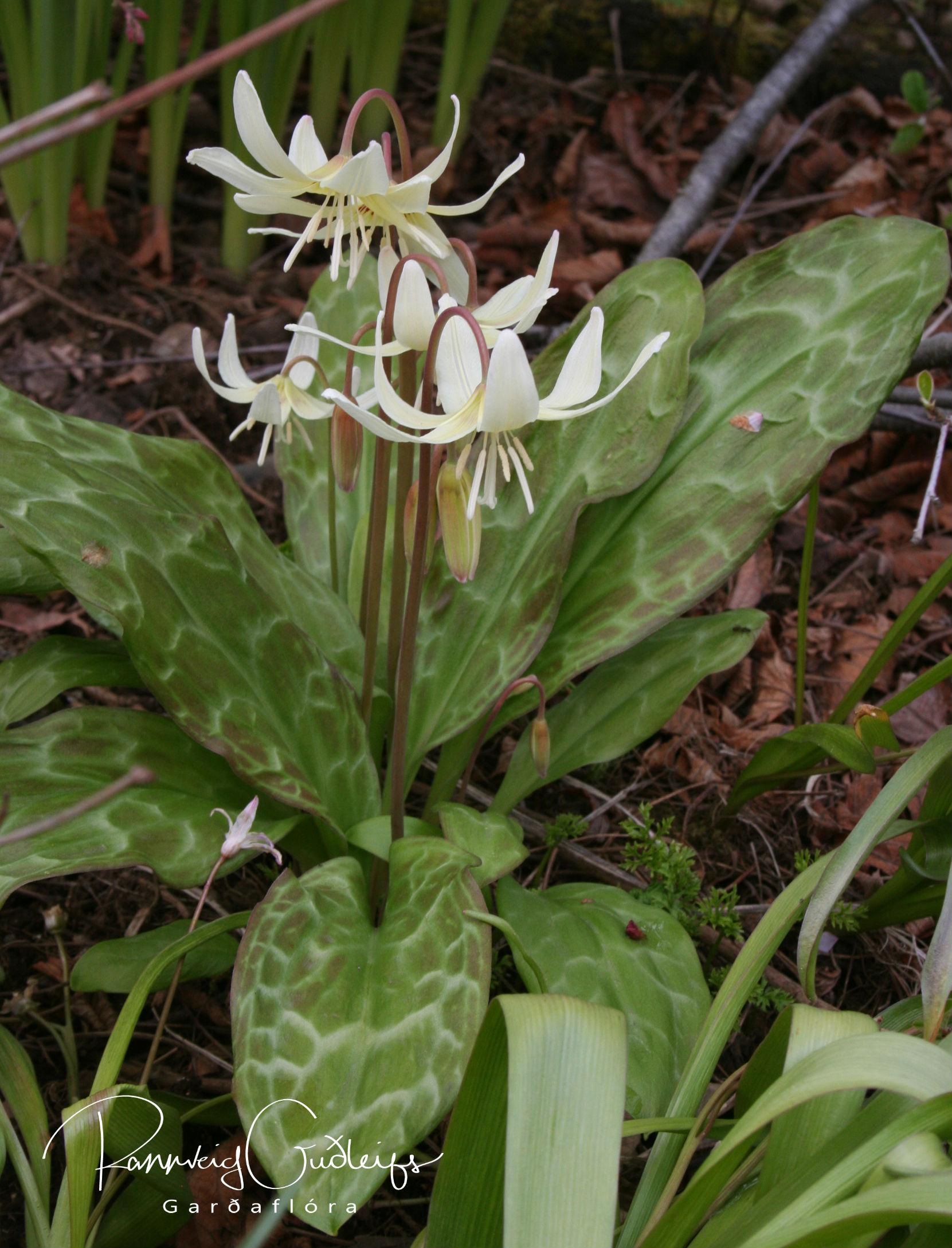 Erythronium revolutum 'White Beauty'