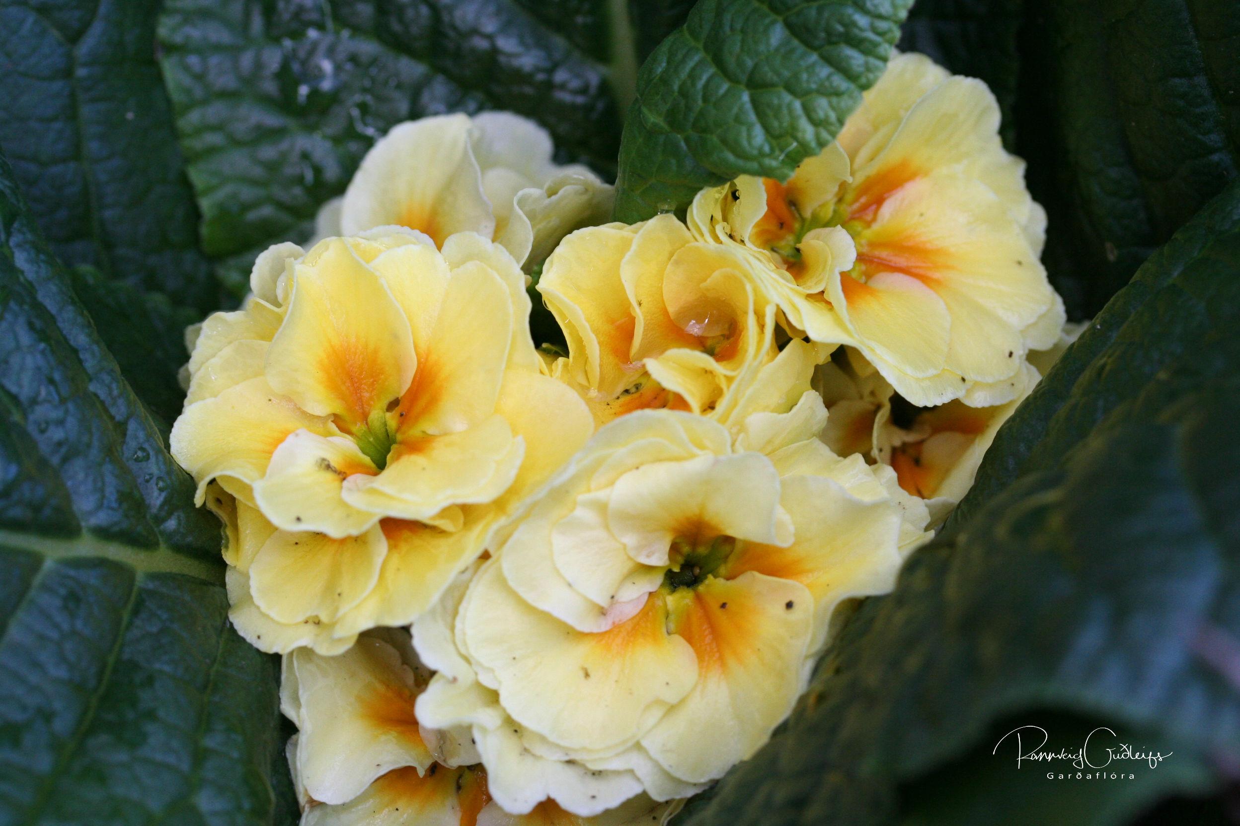 Primula x polyanthus