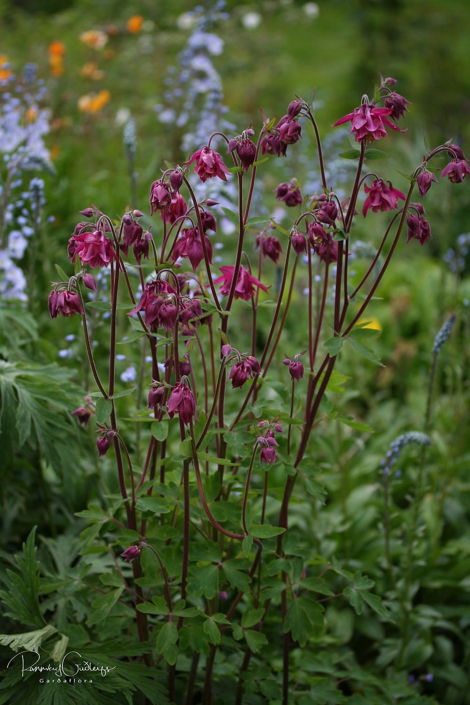 skógarvatnsberi, Aquilegia vulgaris, pink flowers