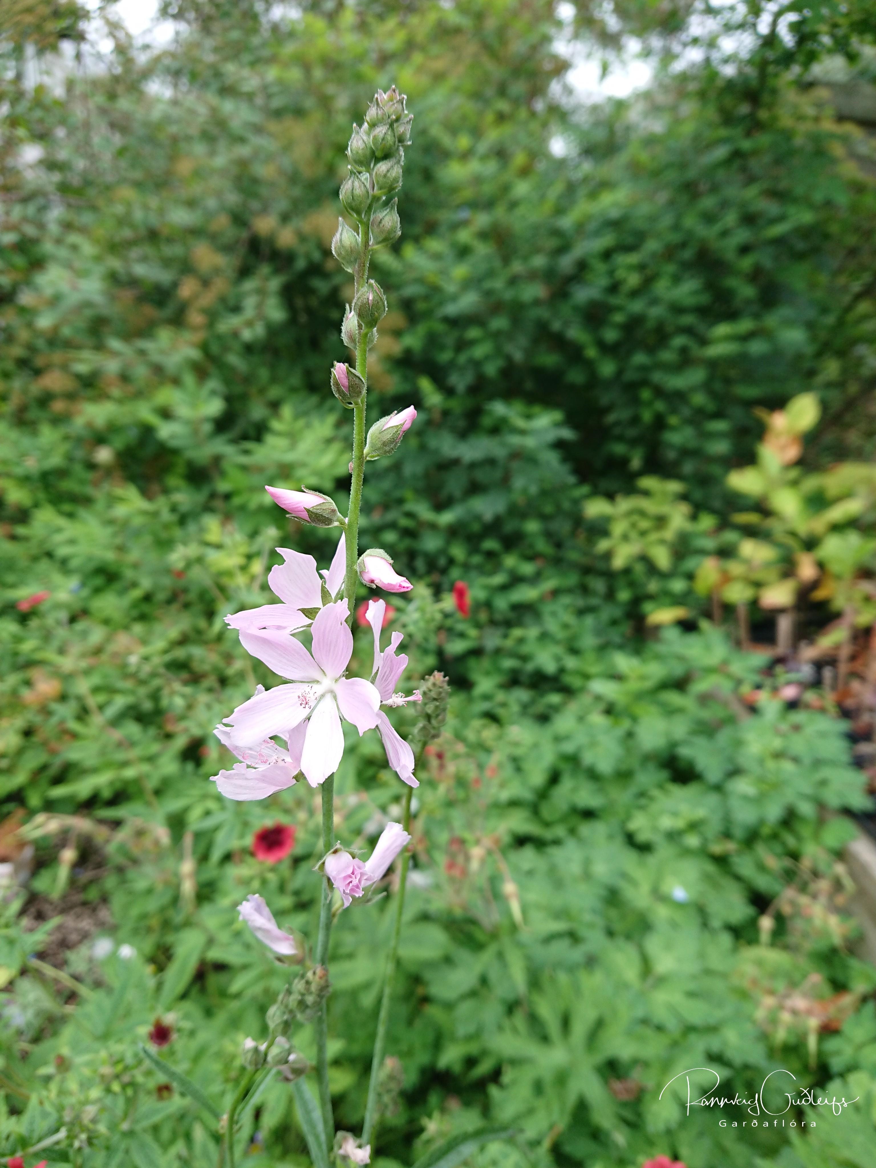 Sidalcea x hybrida 'Rosaly'
