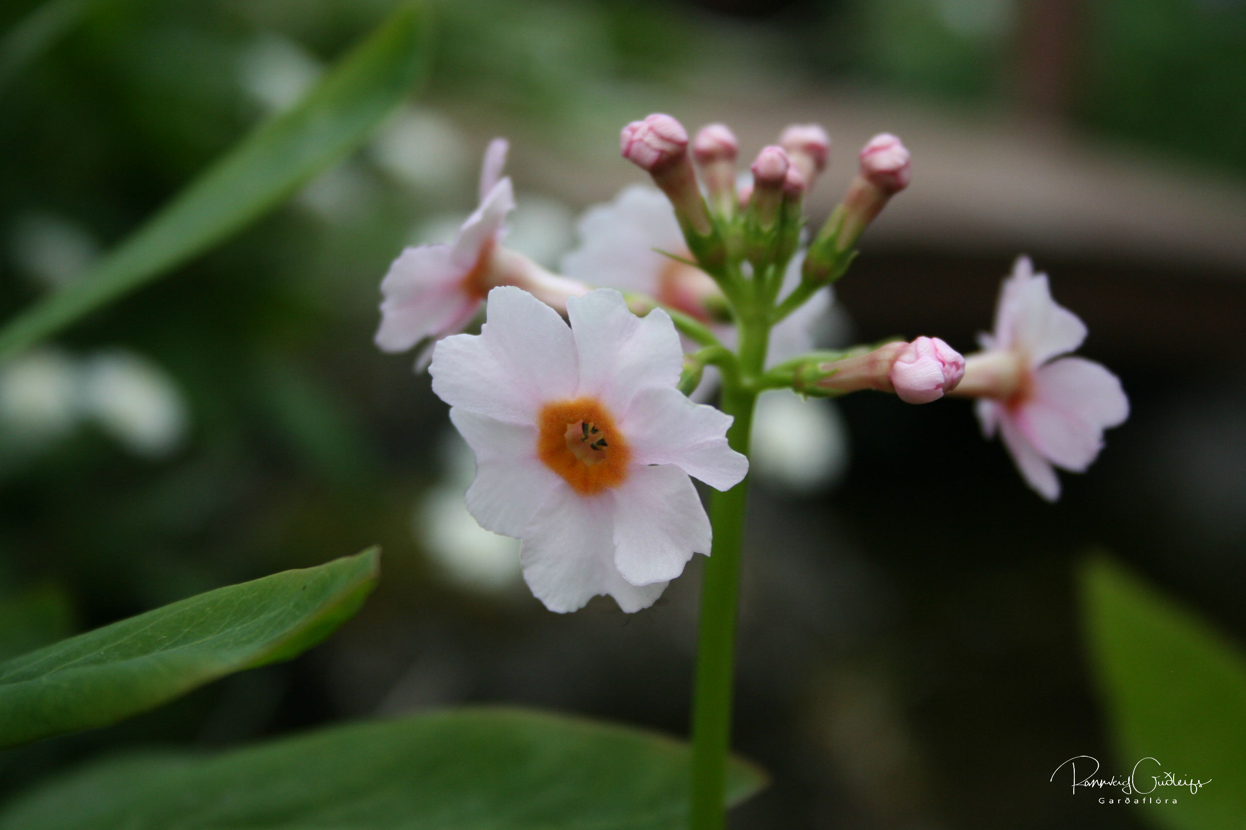 Primula japonica 'Appleblossom Pink'