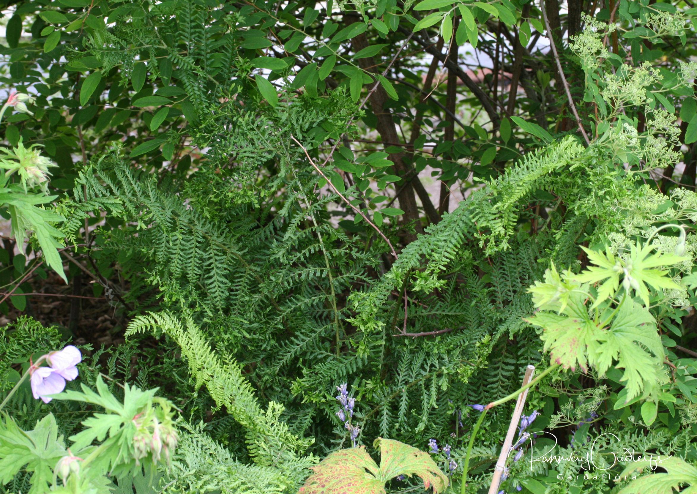 Dryopteris filix-mas 'Cristata'
