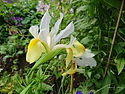 Iris latifolia 'Mix'