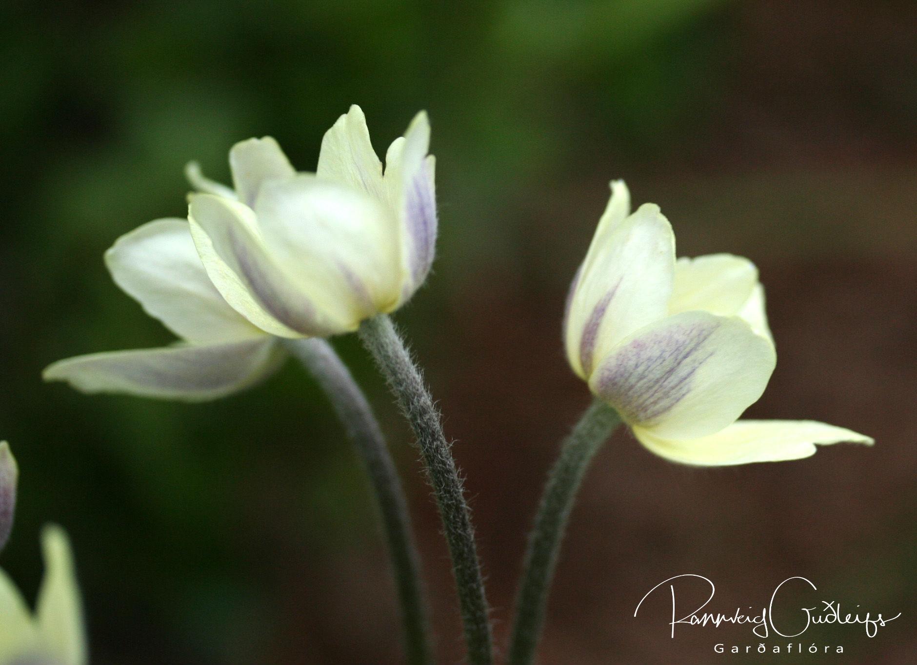 Anemone multifida 'Major'