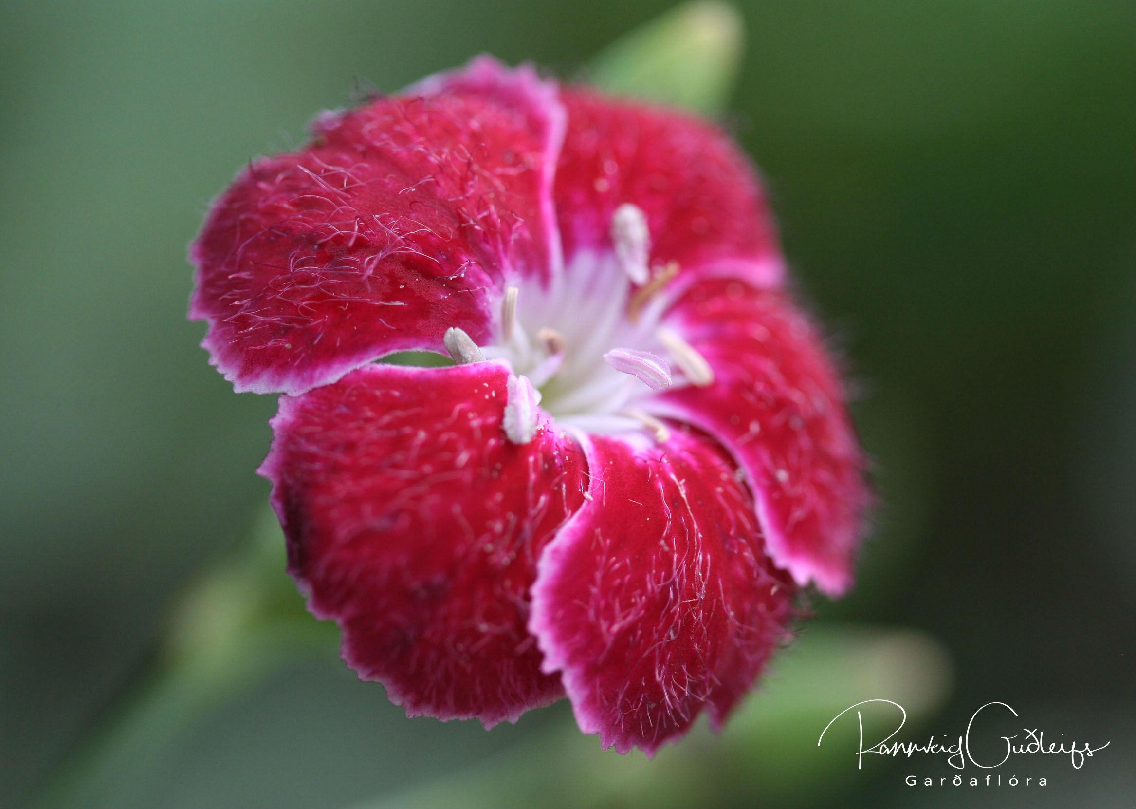 Dianthus 'Queen of Henri'