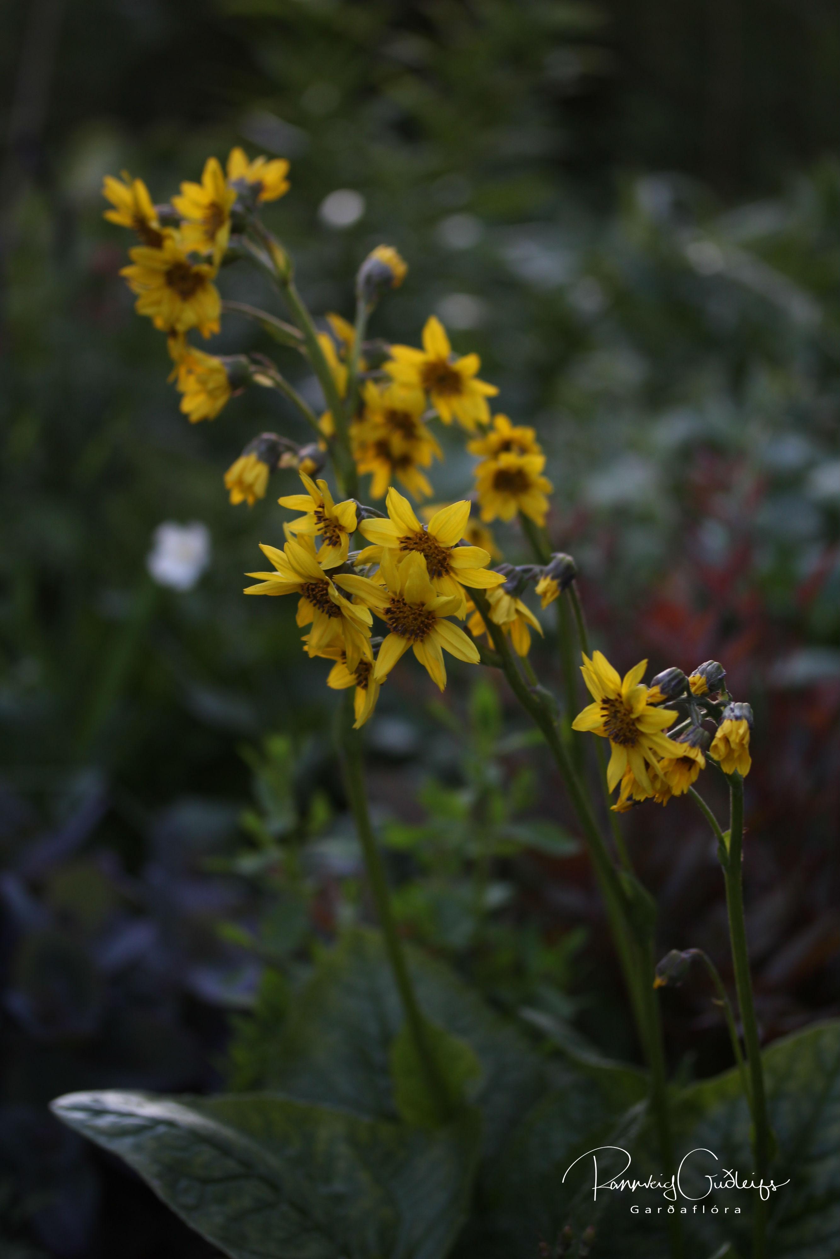 Cremanthodium arnicoides