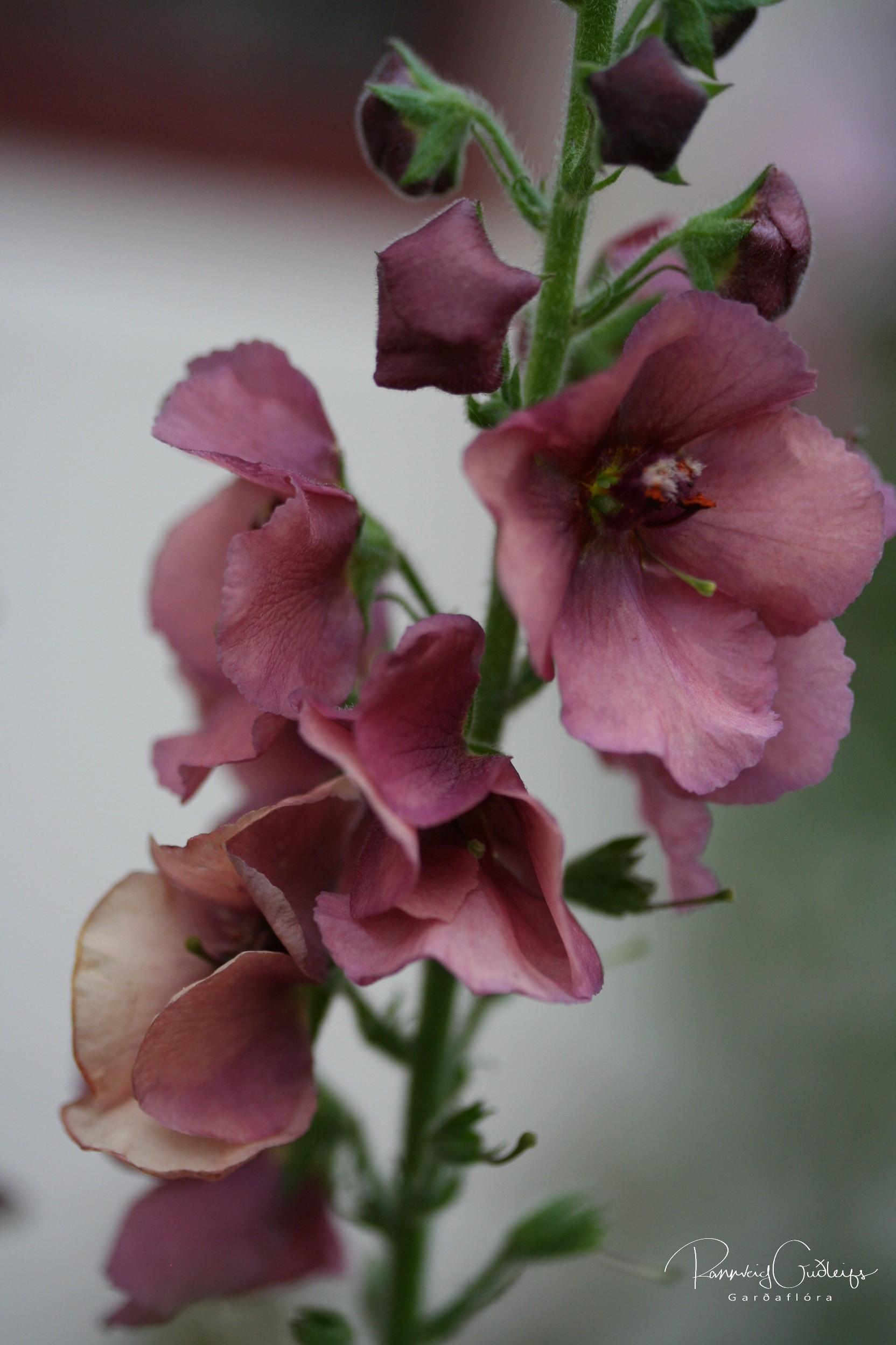 Verbascum x hybridum 'Copper Rose'