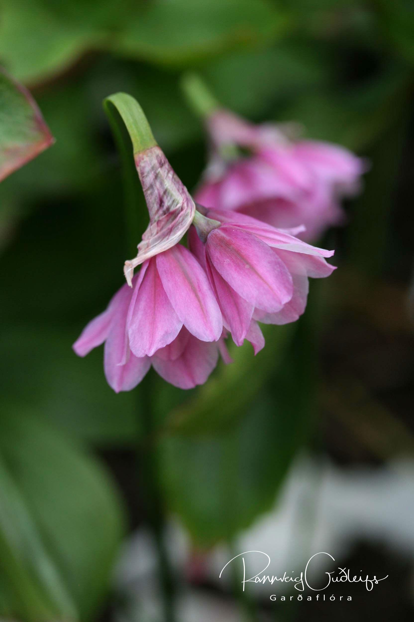 Allium narcissiflorum