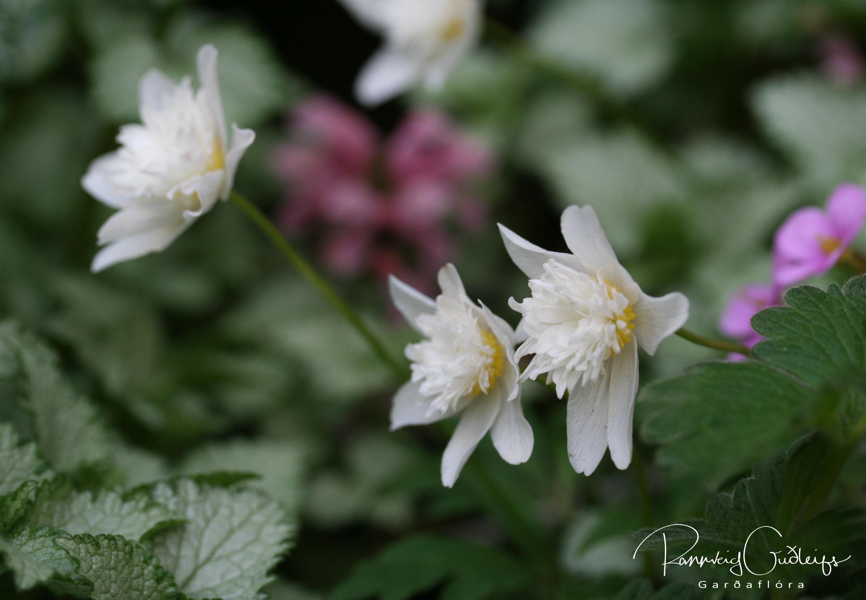 Anemone nemorosa 'Flore Pleno'