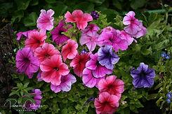 Petunia - Tóbakshorn