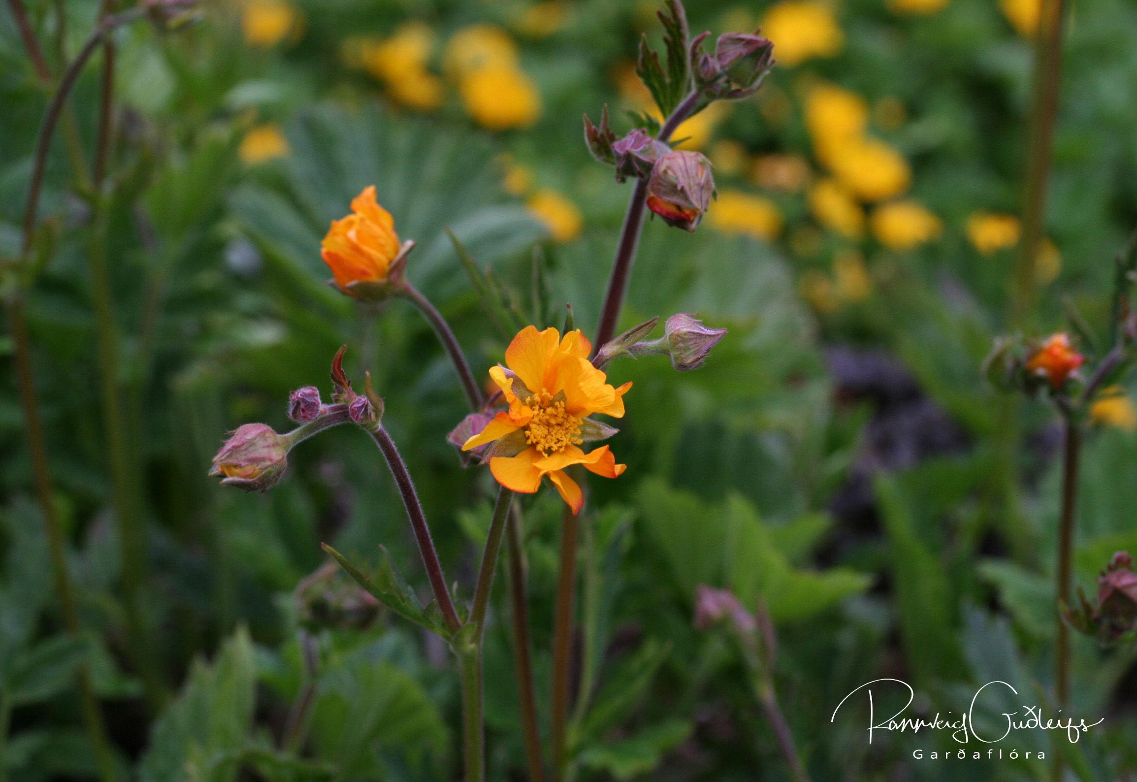 Geum coccineum 'Prince of Orange'