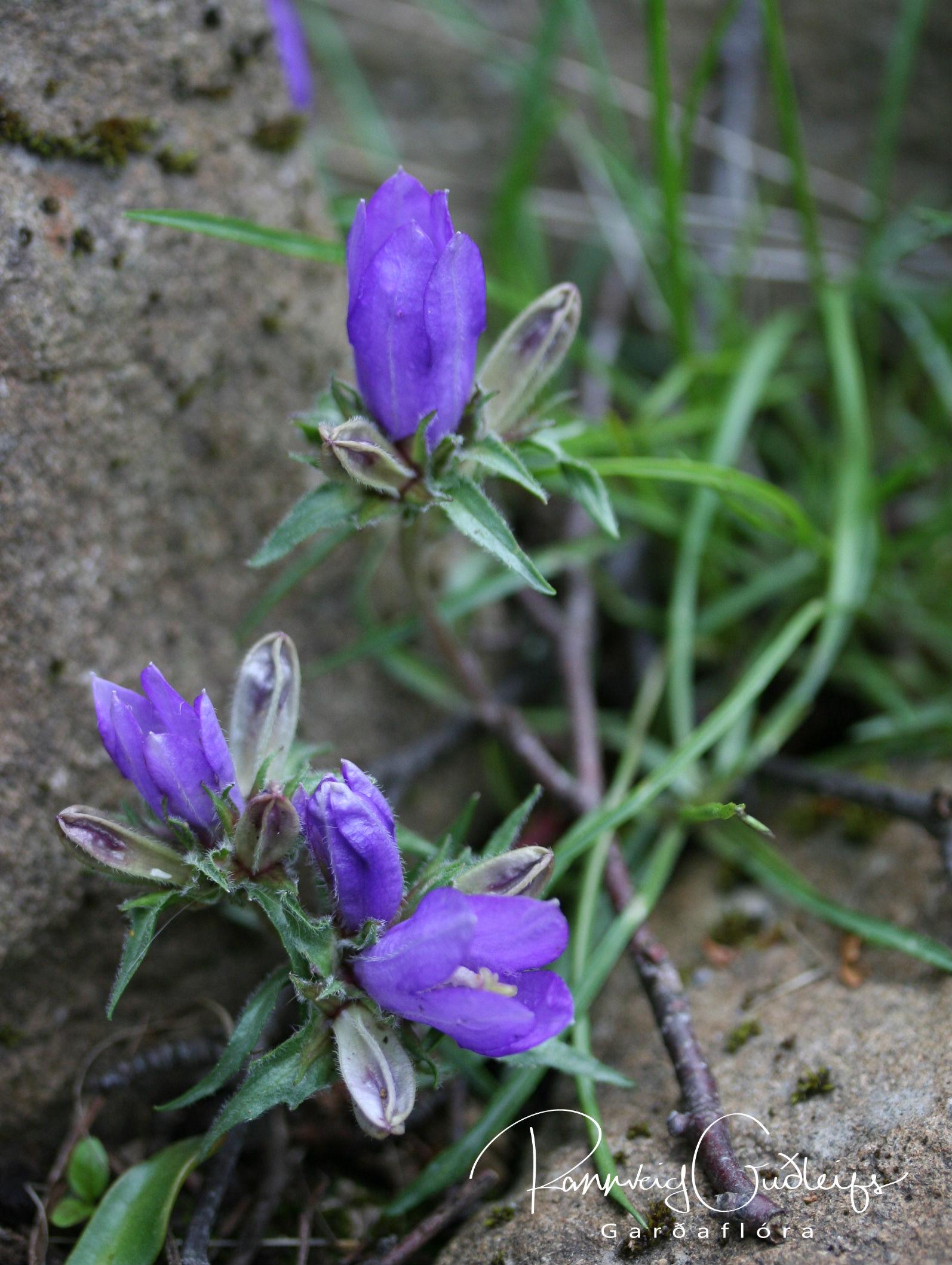 Edraianthus montenegrinus