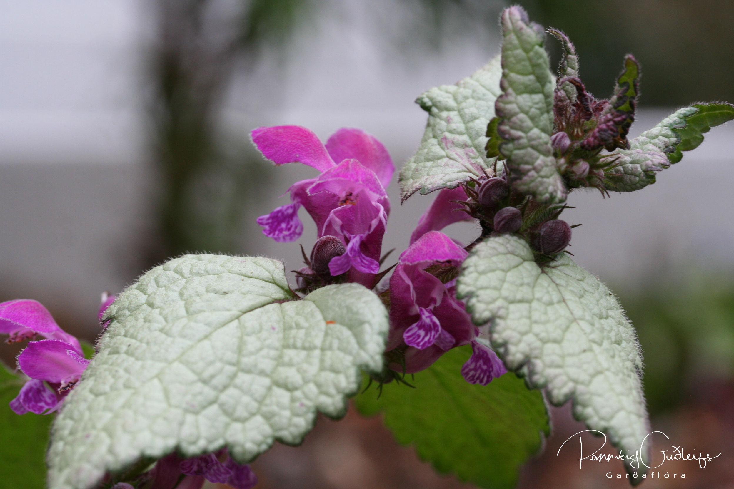 Lamium maculatum 'Silfra'