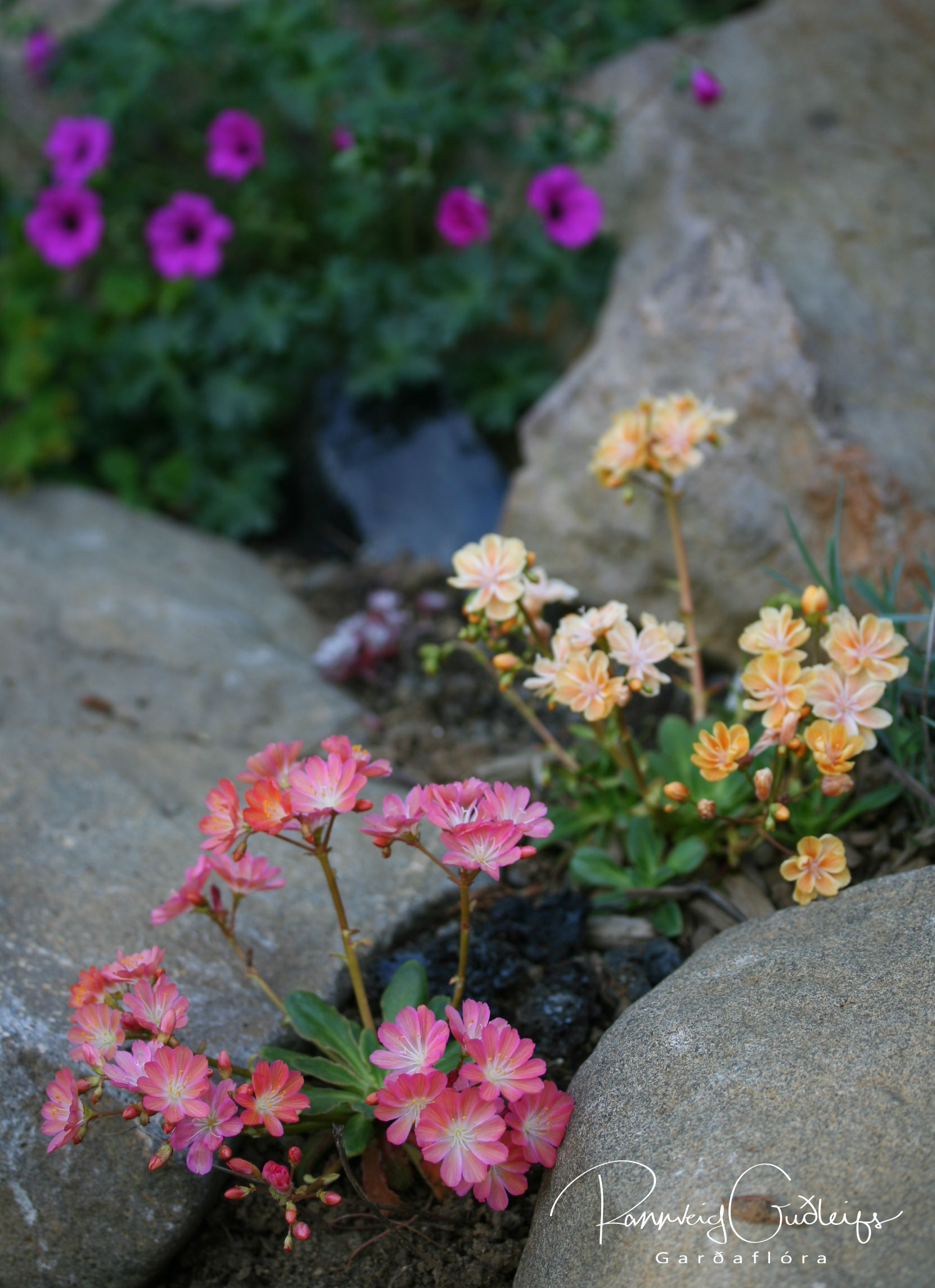 Lewisia cotyledon 'Pink-Orange'