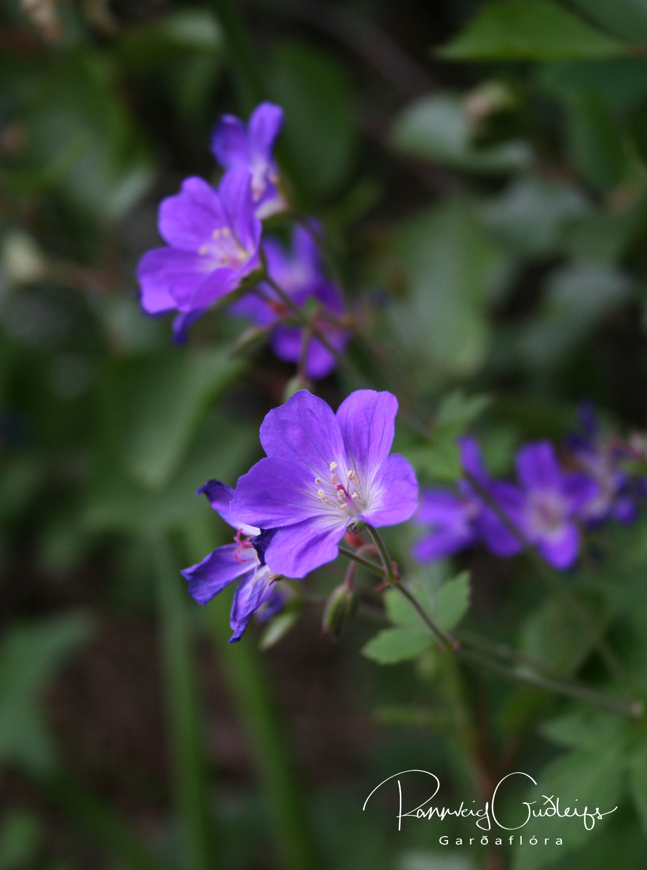 Geranium sylvaticum 'Víoletta'
