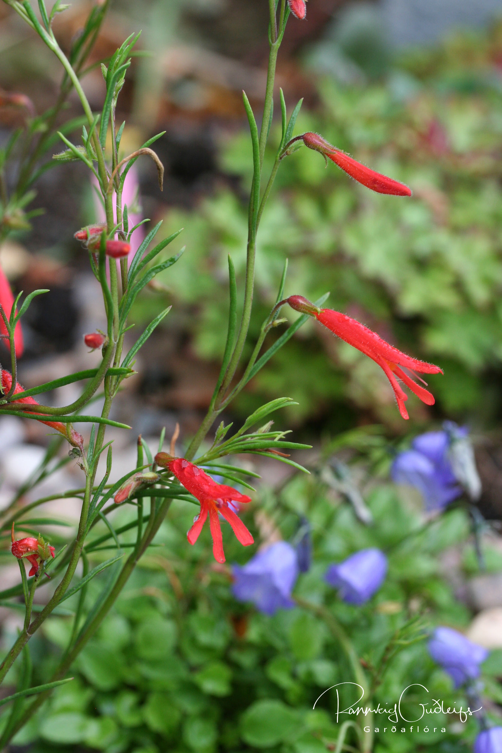 Penstemon pinifolia