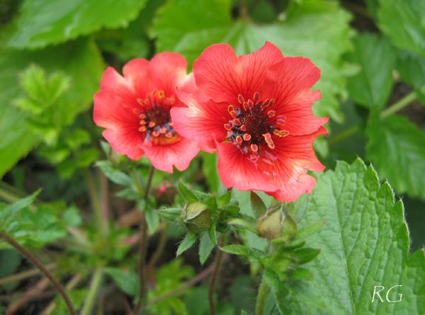 Potentilla nepalensis 'Roxana'