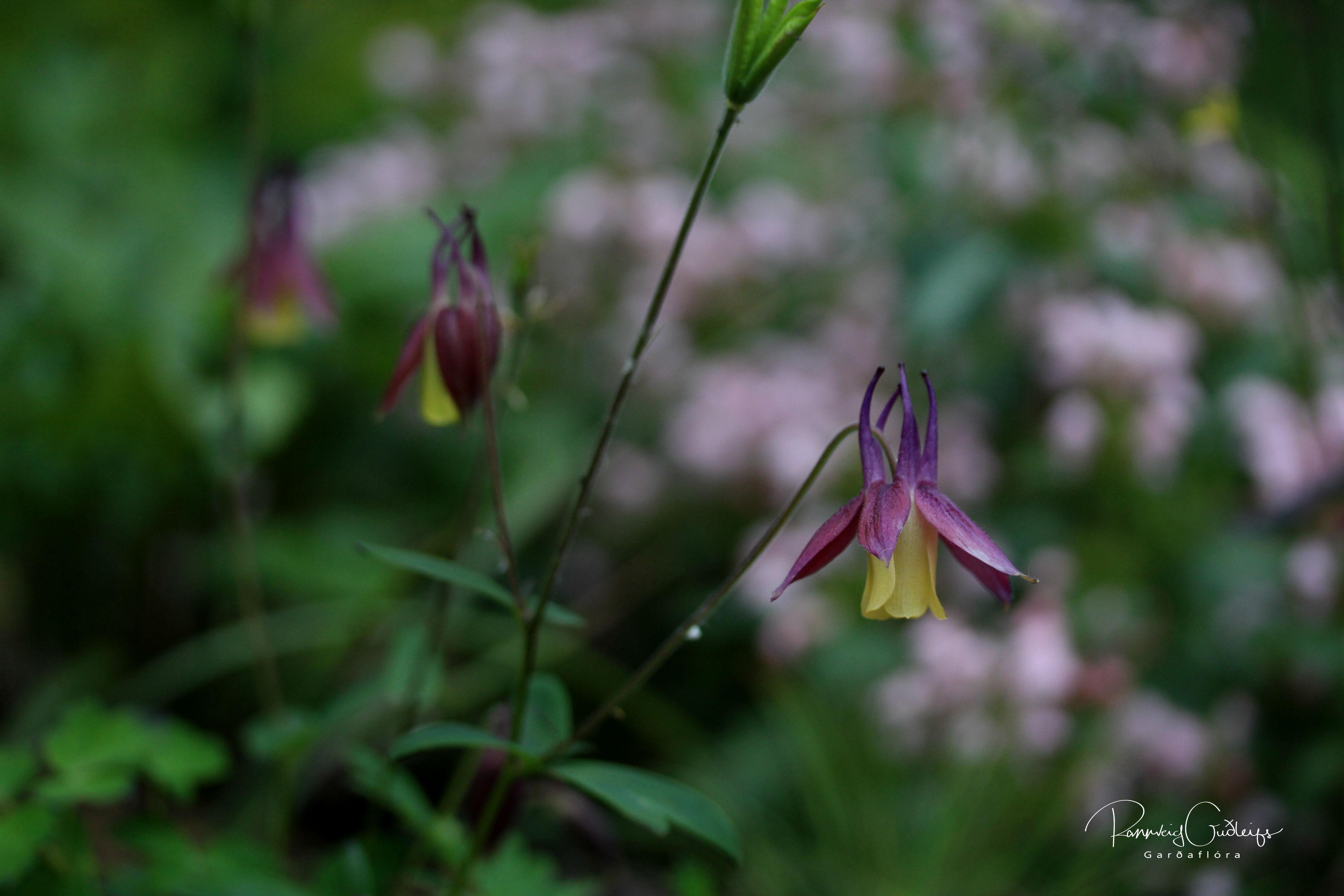 Aquilegia flabellata var. pumila f. kurilensis 'Rosea'