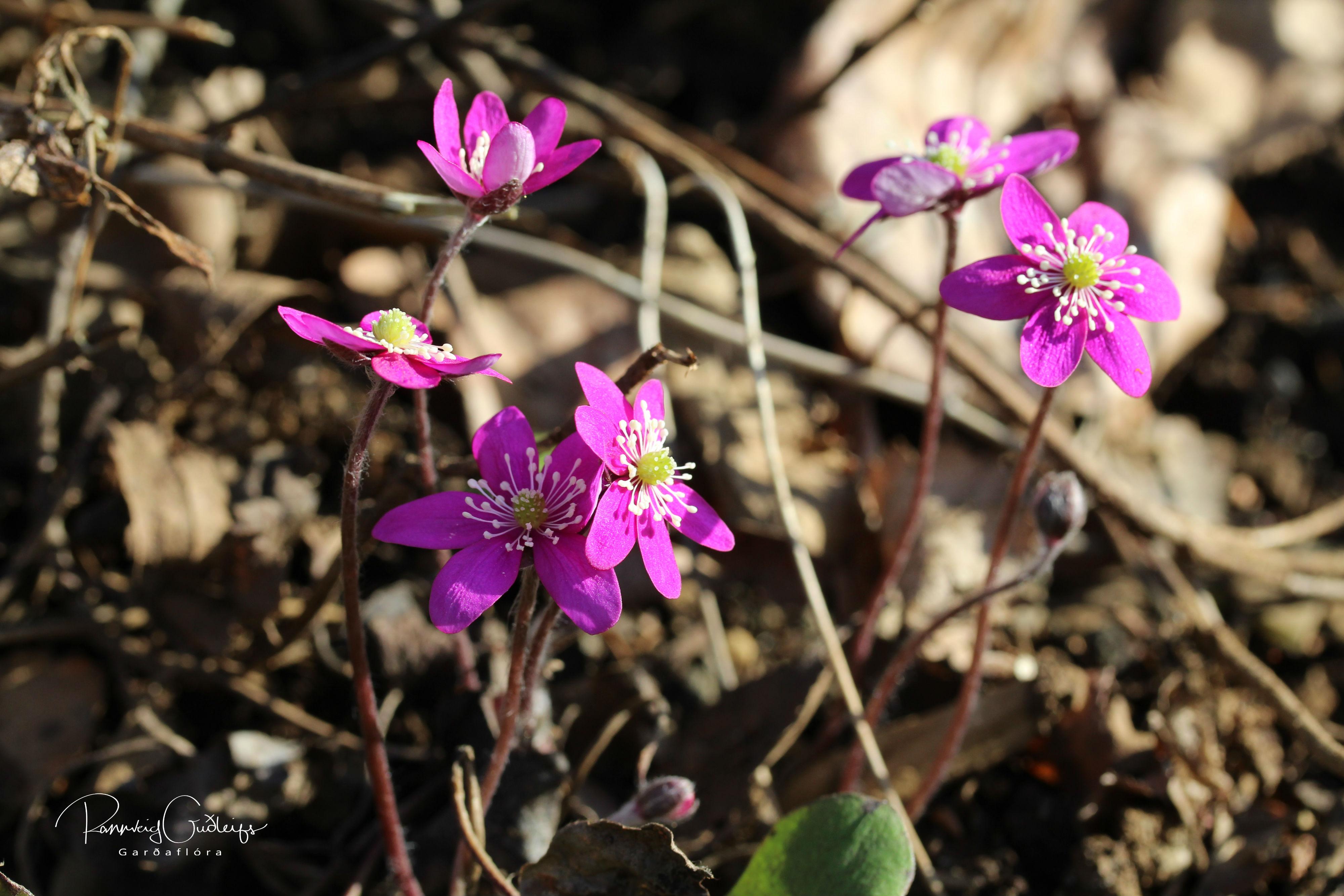Hepatica nobilis 'Rubra'