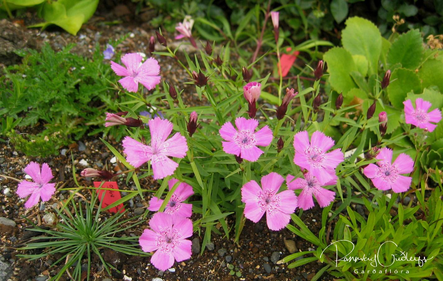 Dianthus callizonus