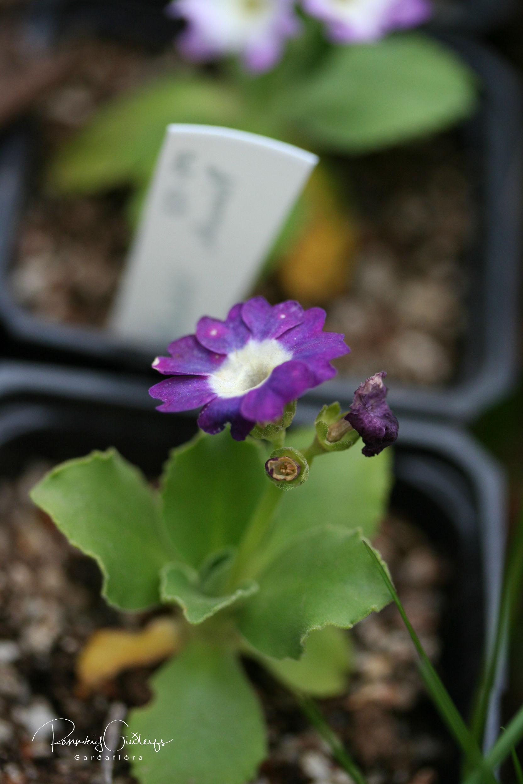 Primula 'Wharfedale Hybrids'