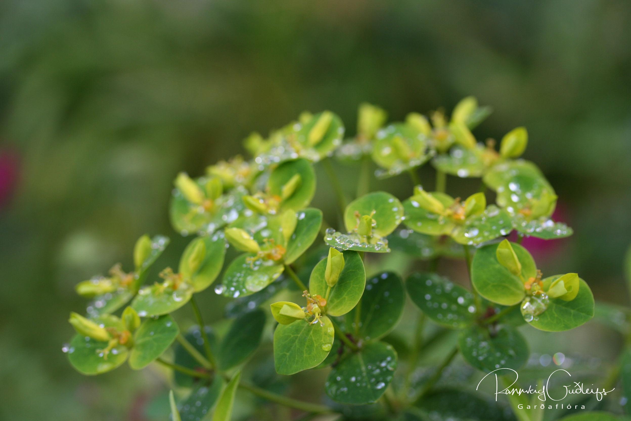 Euphorbia longifolia 'Amjillasa'