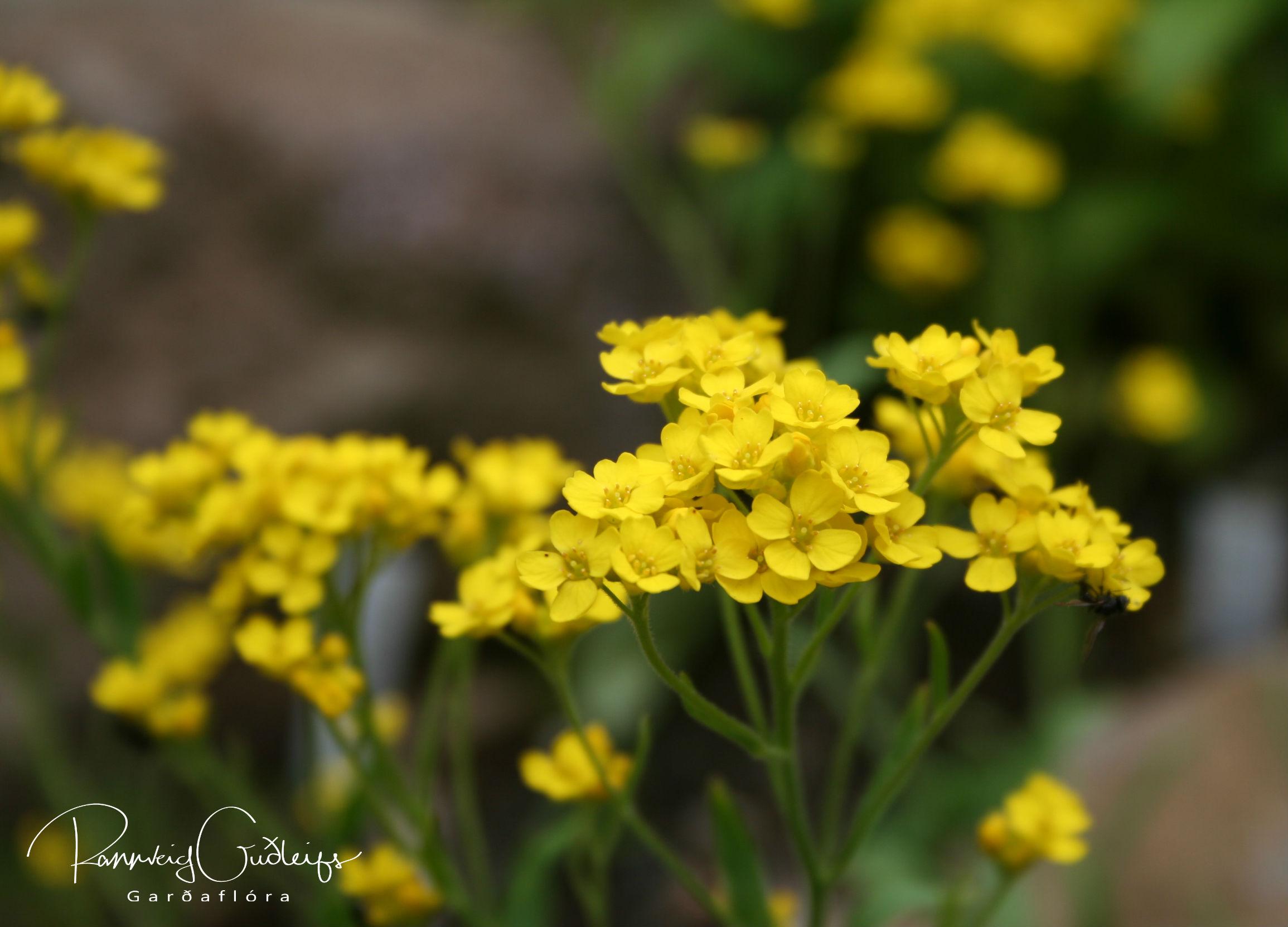 Aurinia saxatile syn. Alyssum saxatile