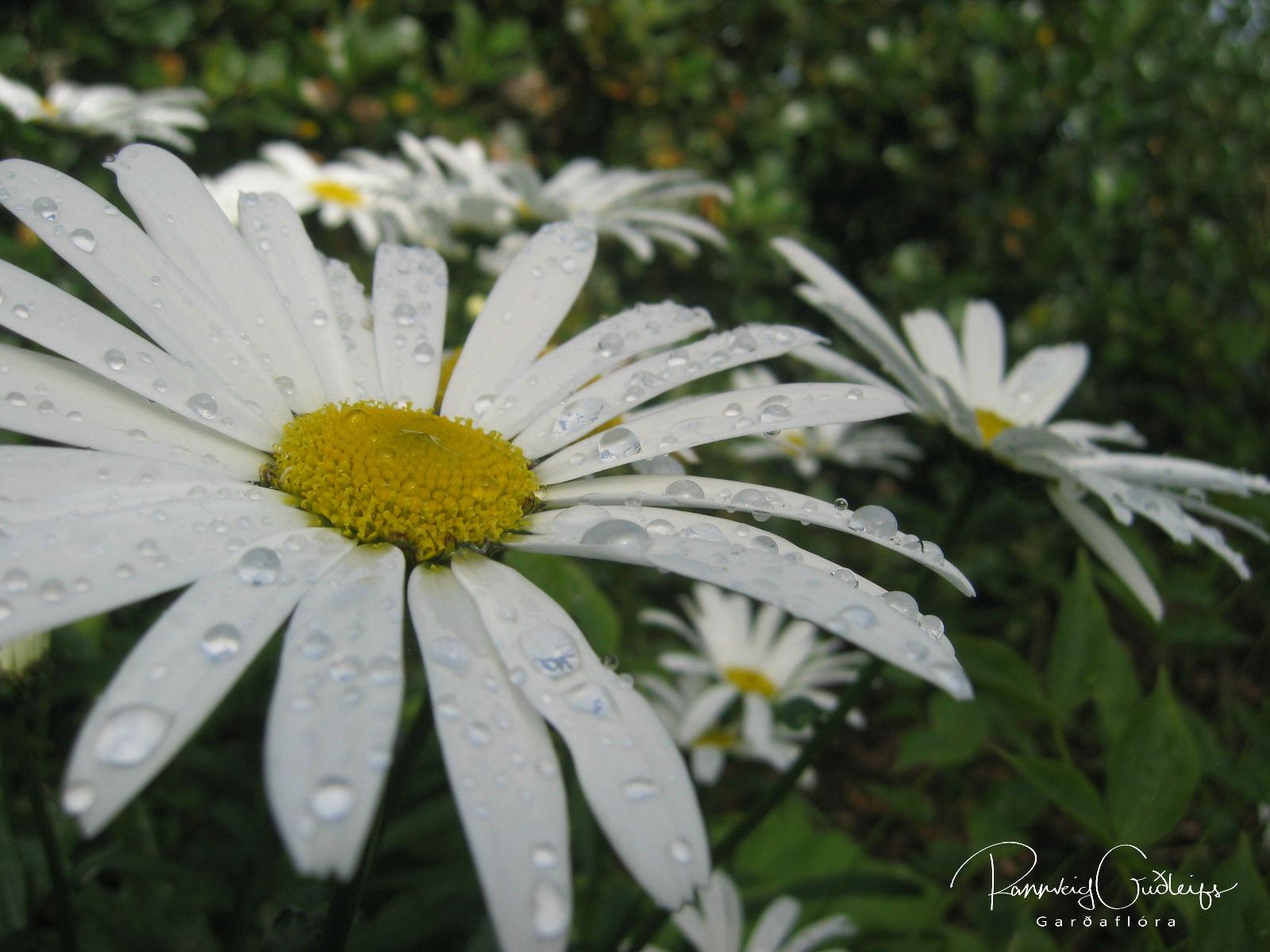 Leucanthemum maximum 'Silberprinzesschen'