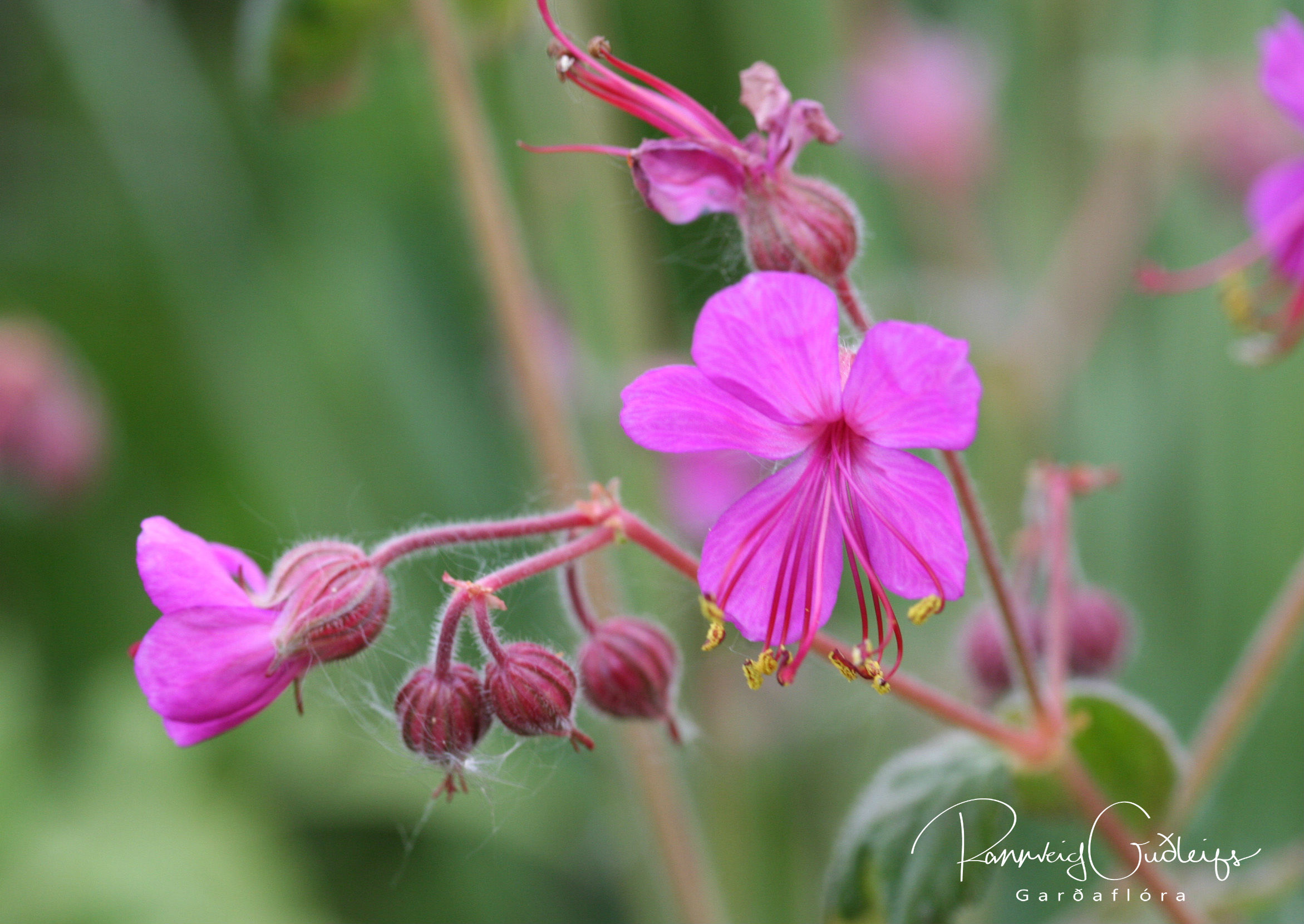 Geranium macrorrhizum 'Bevan's Variety'