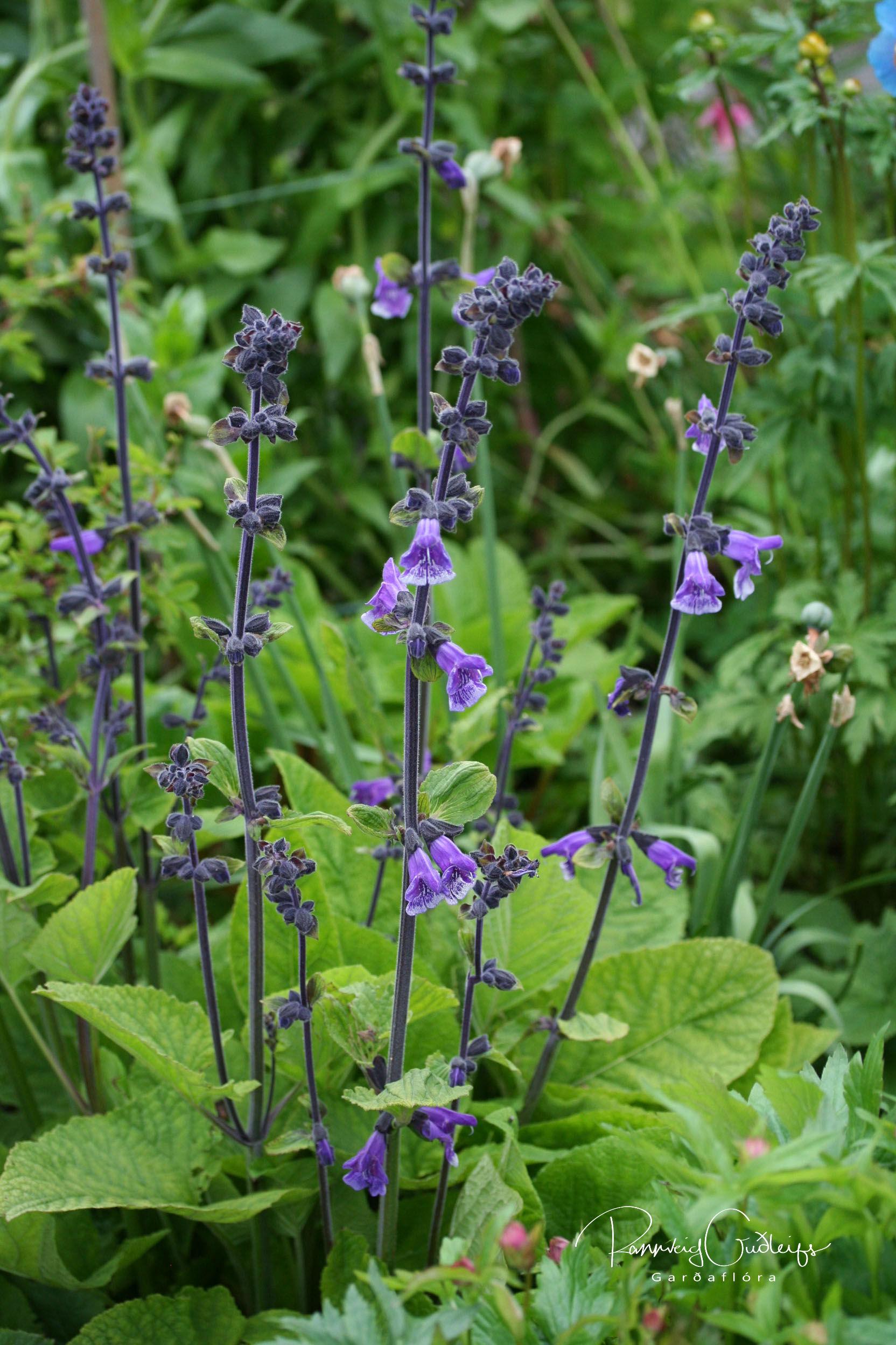 Salvia hians