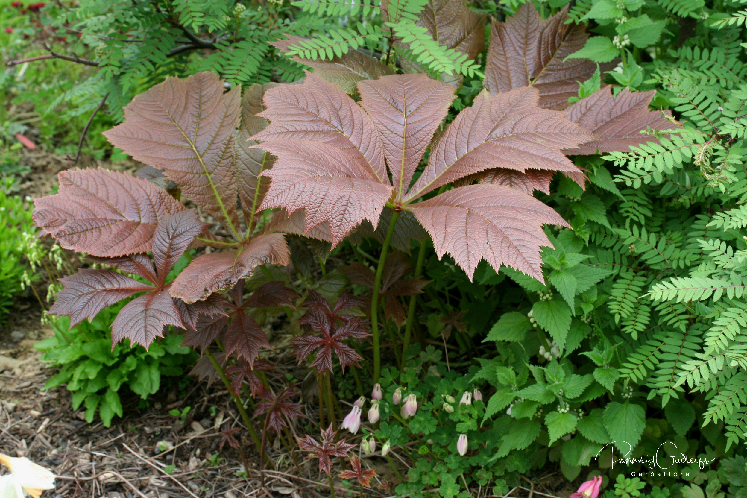 Rodgersia podophylla