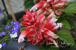 Salvia - Lyfjablóm