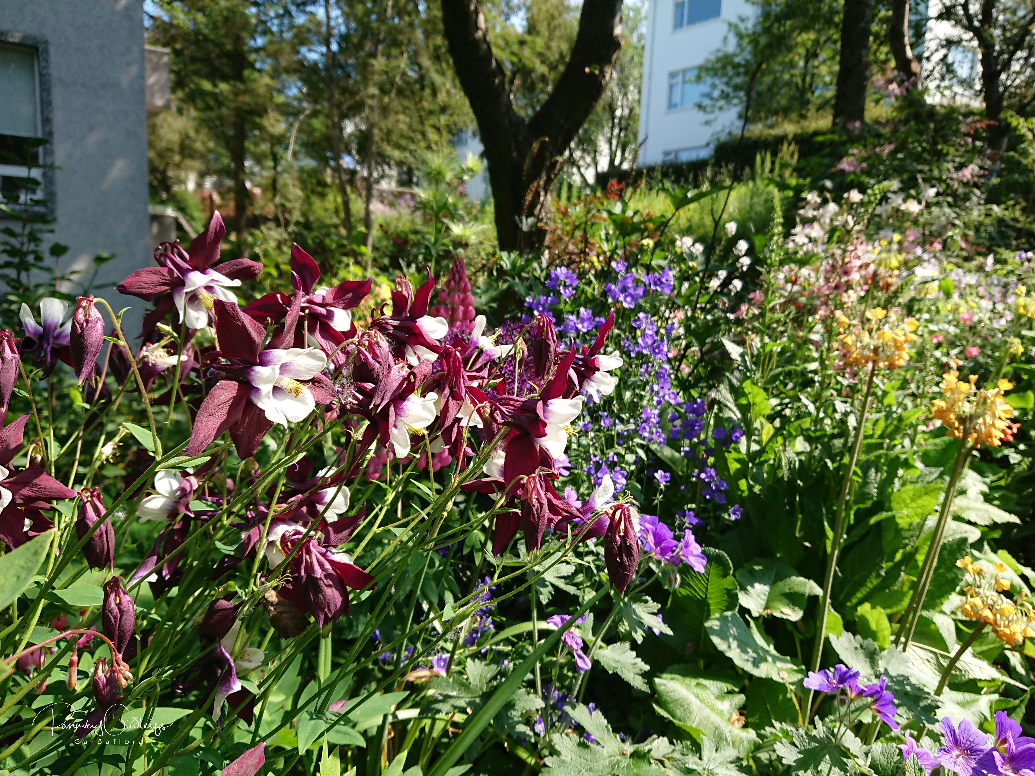 Aquilegia x hybrida Magpie seedling
