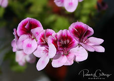 Pelargonium - Pelargóníur