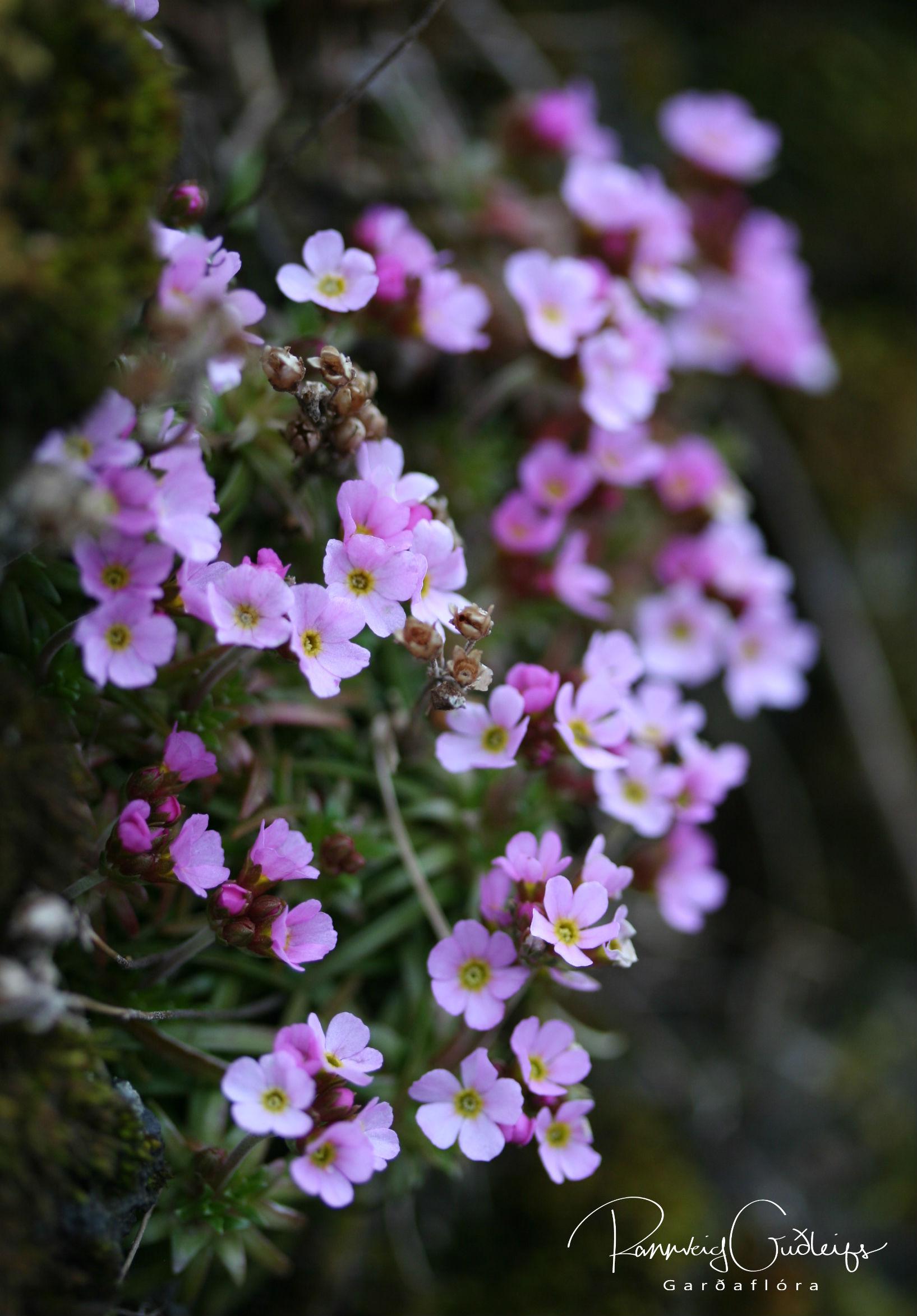 Androsace carnea ssp. alpina