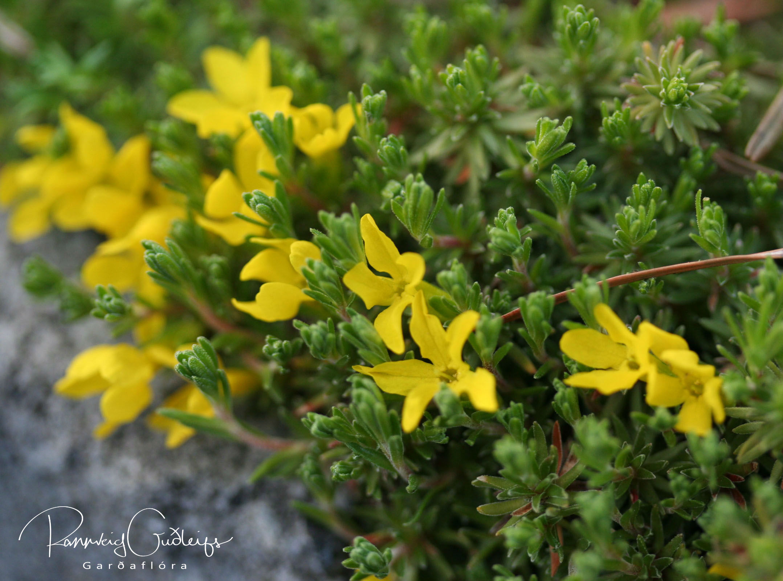 Vitaliana primuliflora (Douglasia vitaliana)