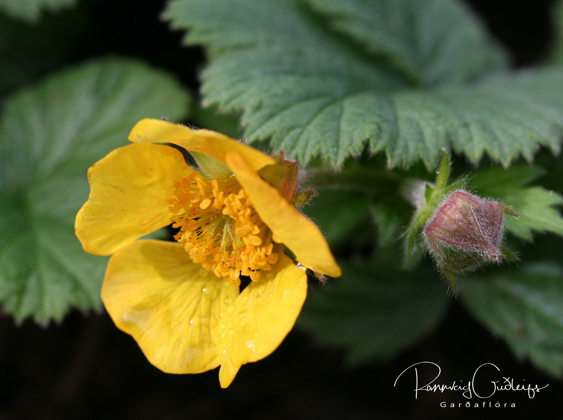 Geum coccineum 'Yellow'