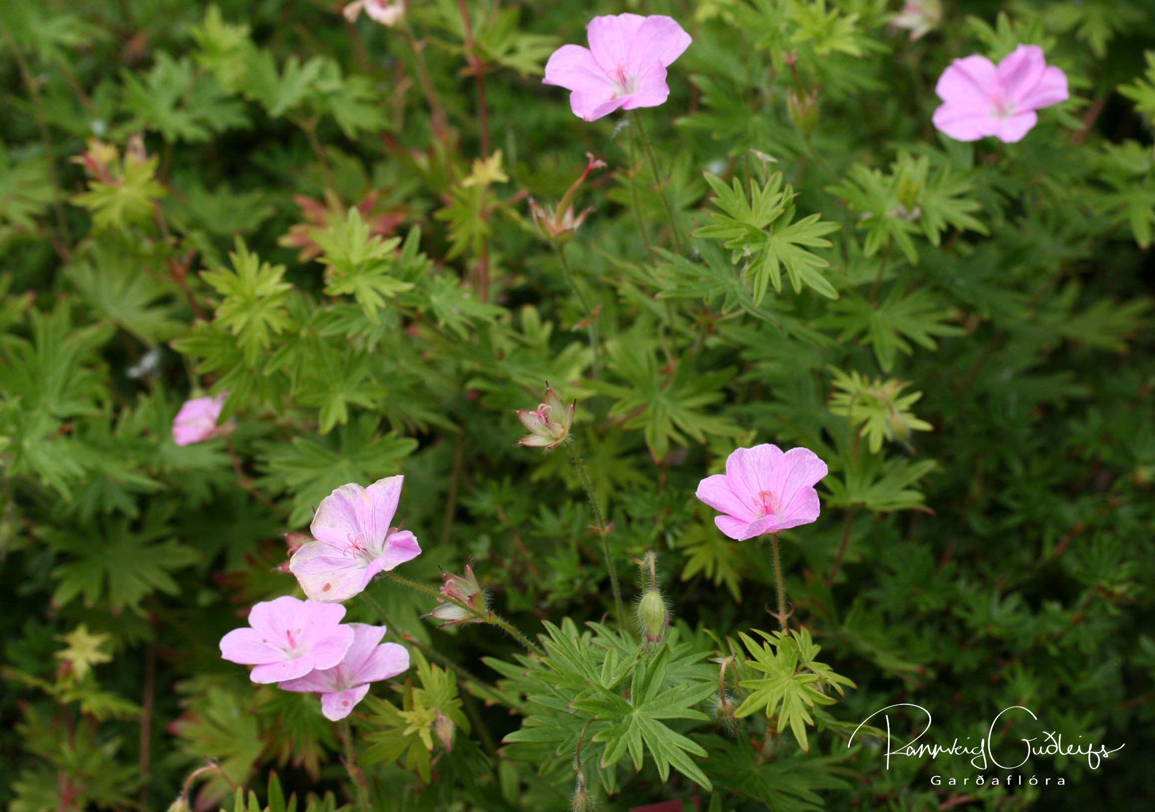 Geranium sanguineum 'Vision Light Pink'