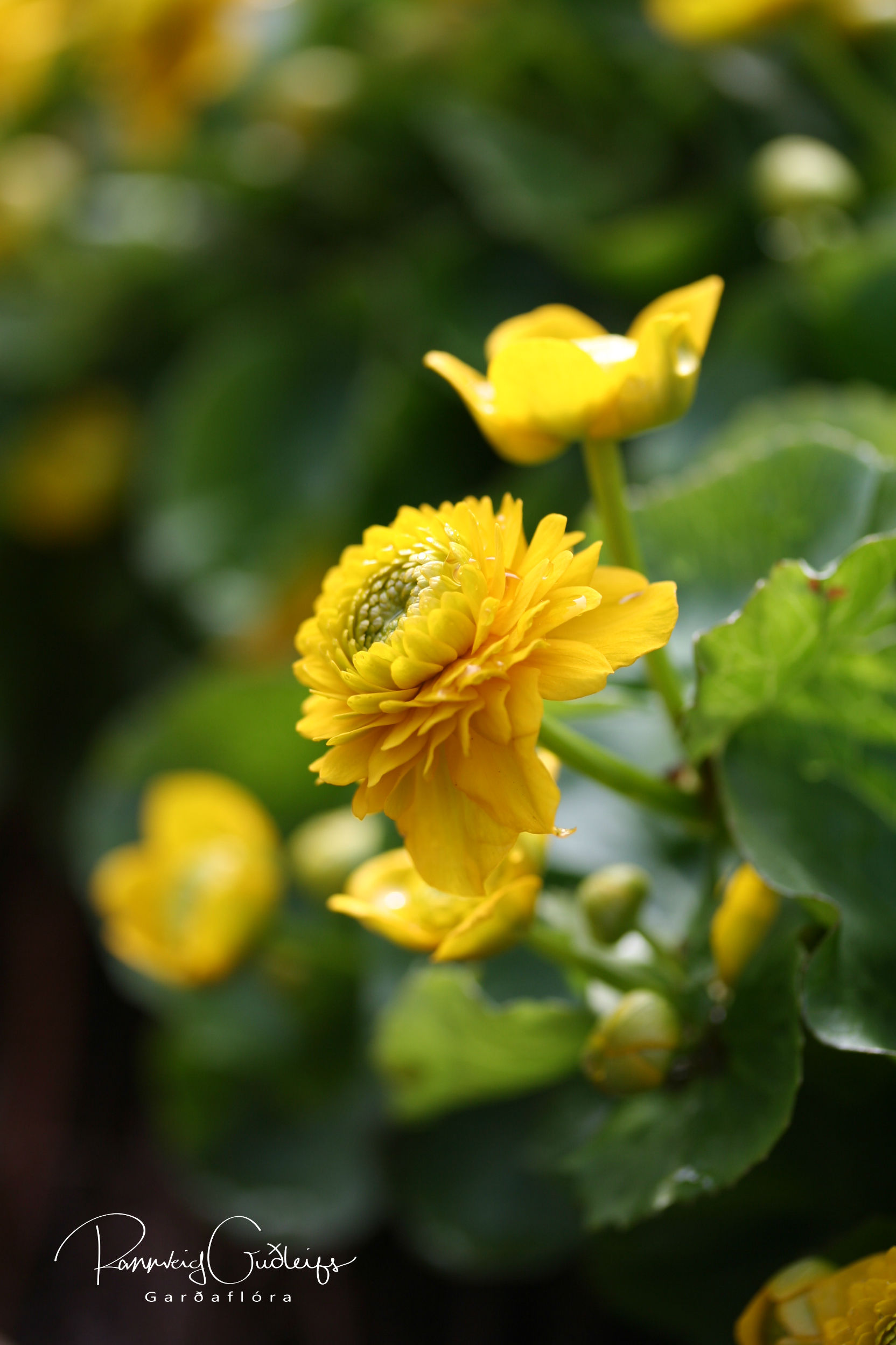 Caltha palustris 'Flore Pleno'