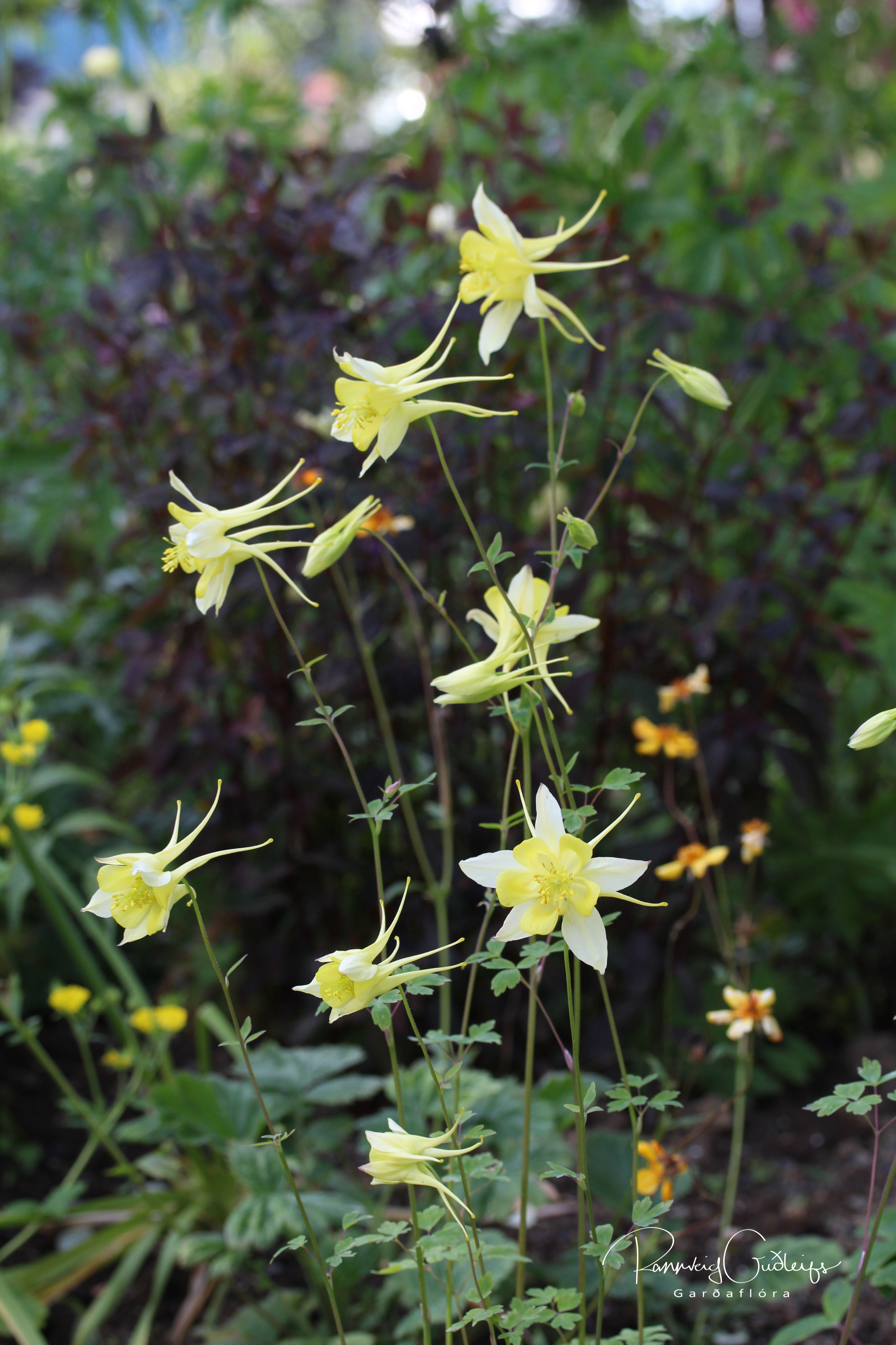 Aquilegia x hybrida yellow