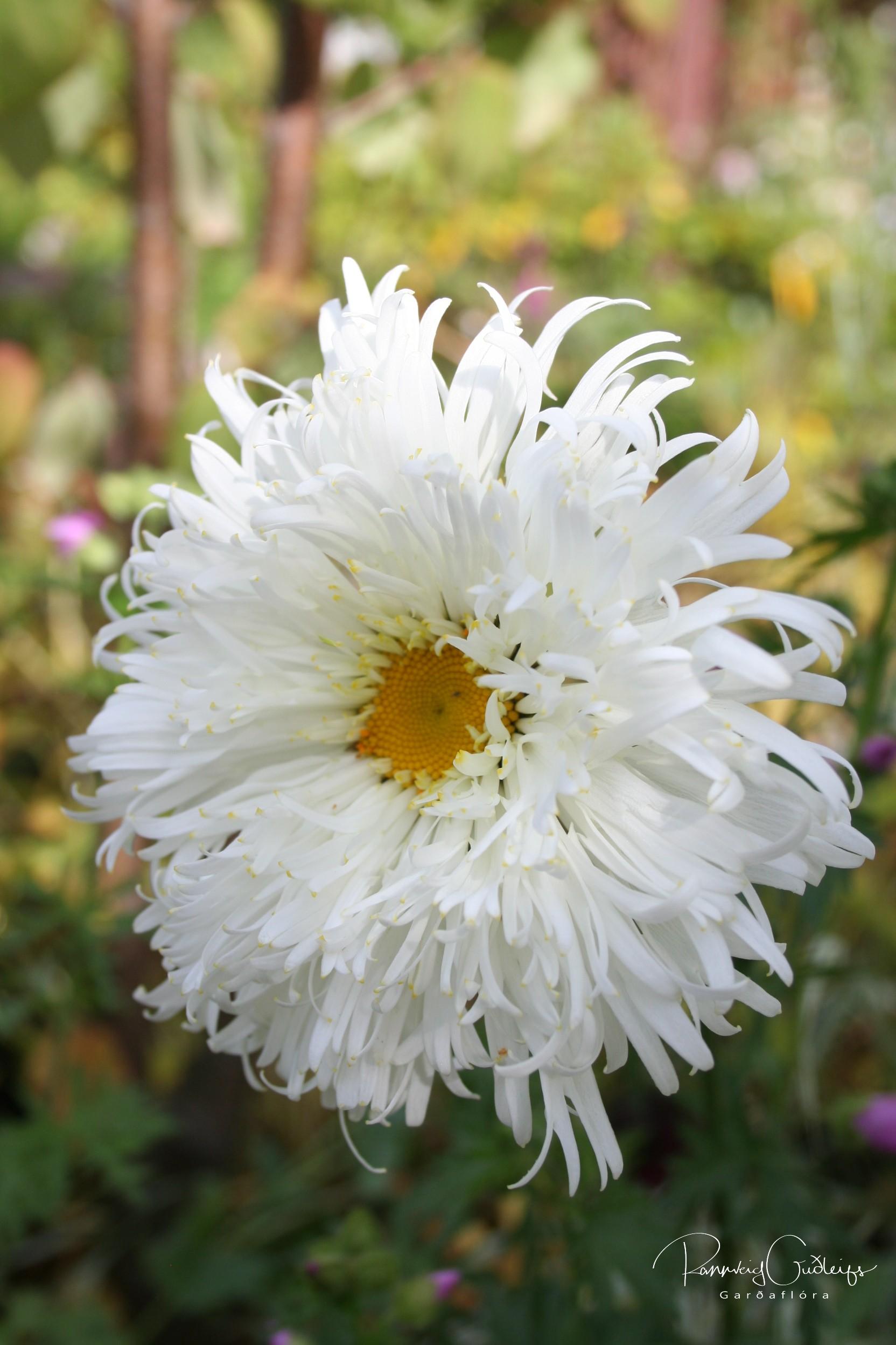Leucanthemum maximum 'Crazy Daisy'