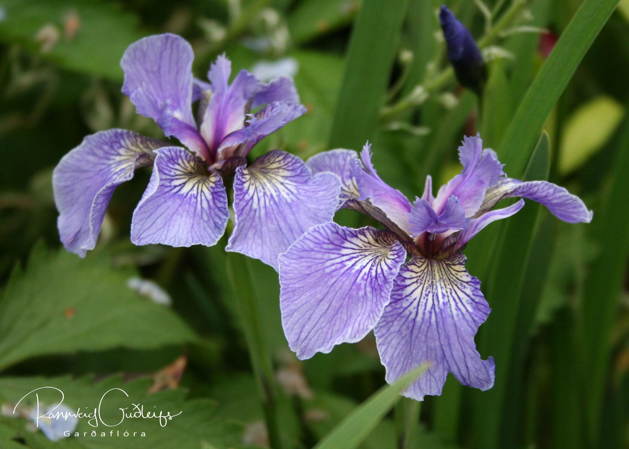 Iris setosa var. arctica